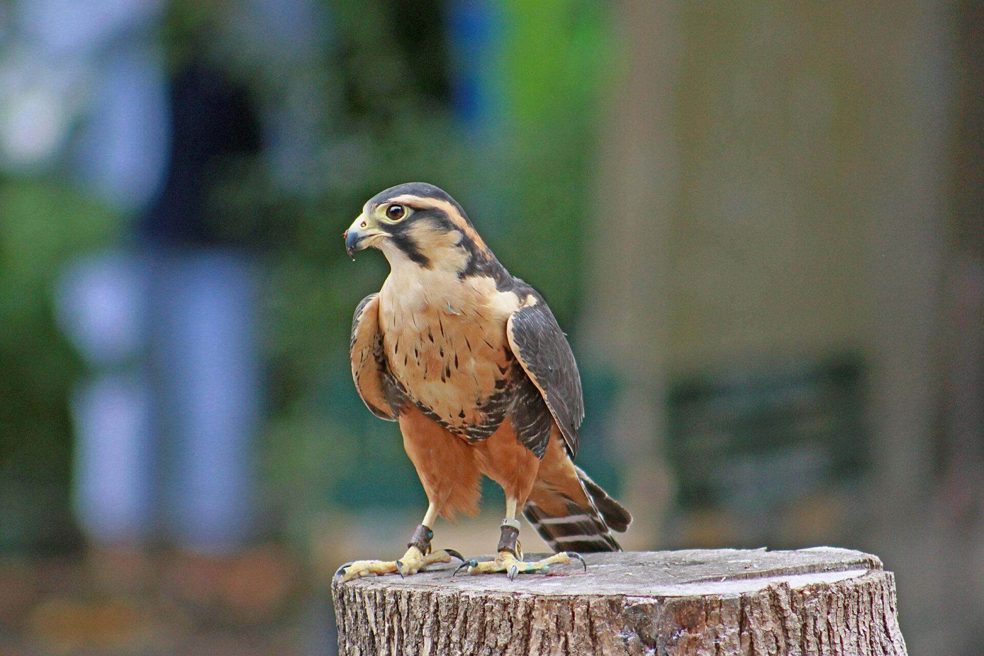 Lola the Aplomado Falcon at the Woodland Park Zoo, July 16, 2017