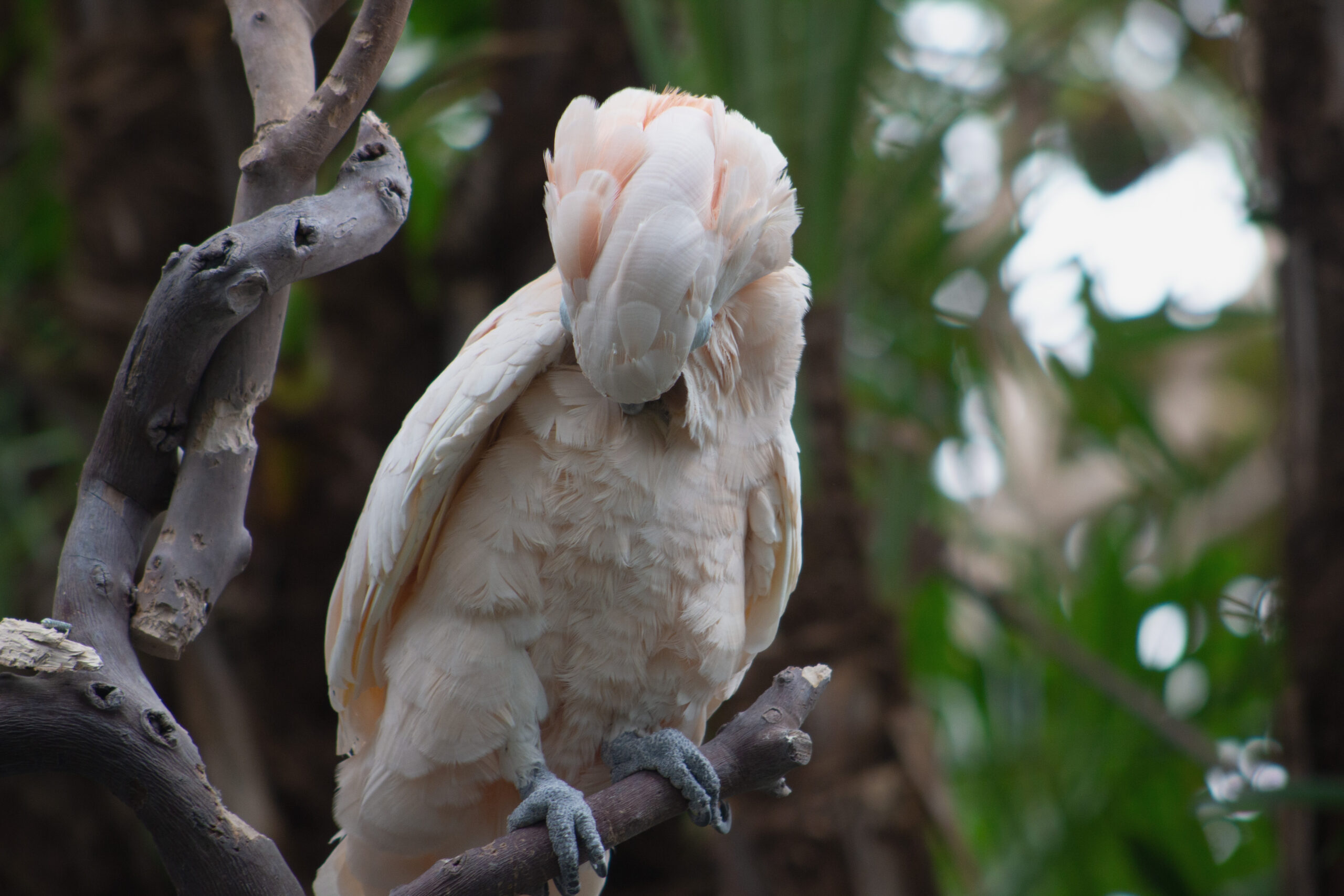 Kramer, a Moluccan Cockatoo, at the Bloedel Conservatory, March 2019