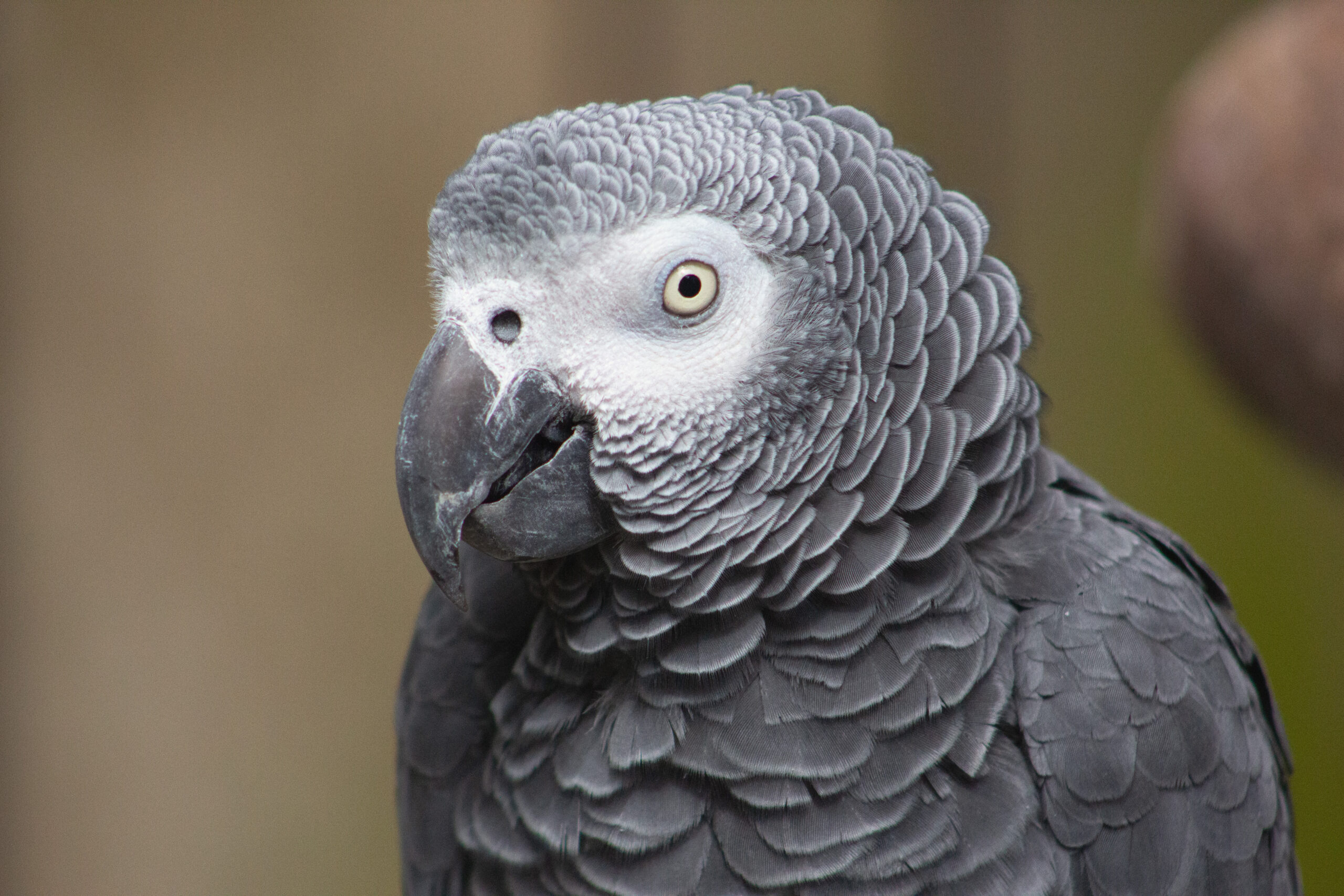 African Grey Parrot, March 2019