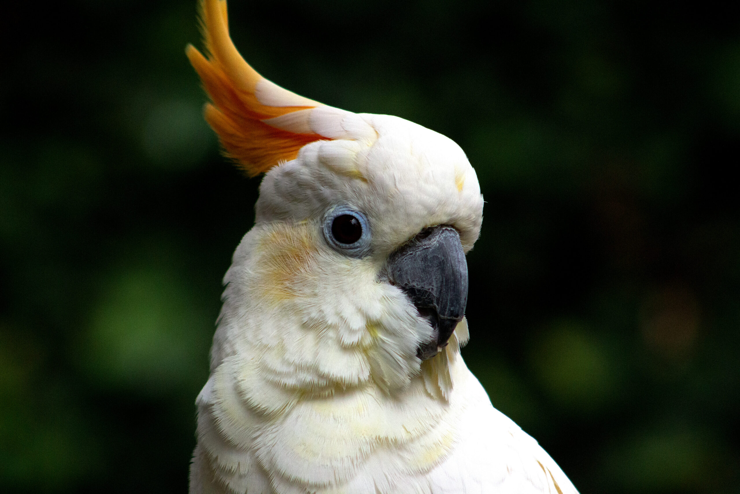 Gidget, a Citron-Crested Cockatoo at Bloedel Conservatory, March 2019