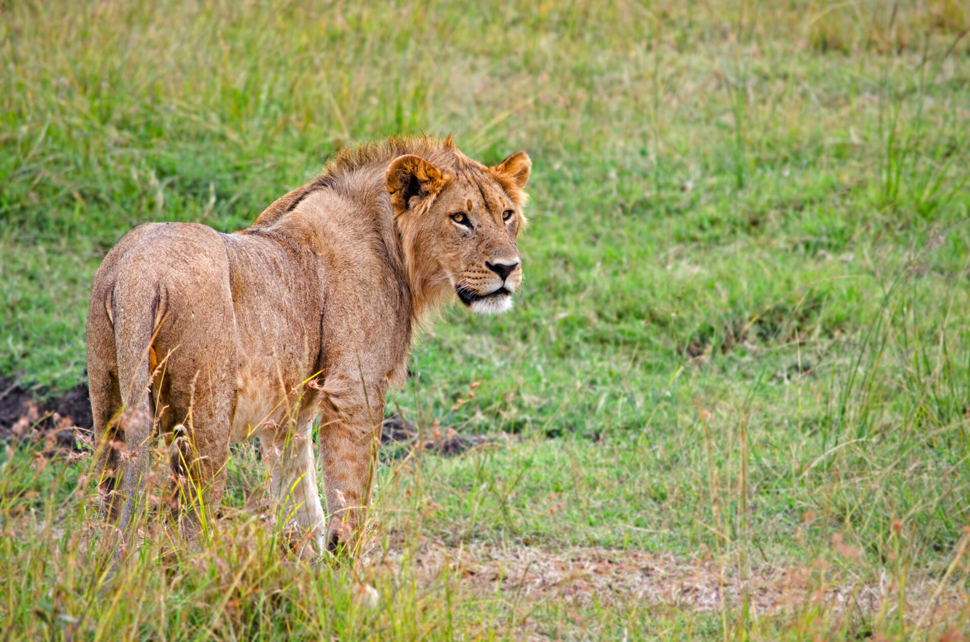 Young Male Lion, August 2019