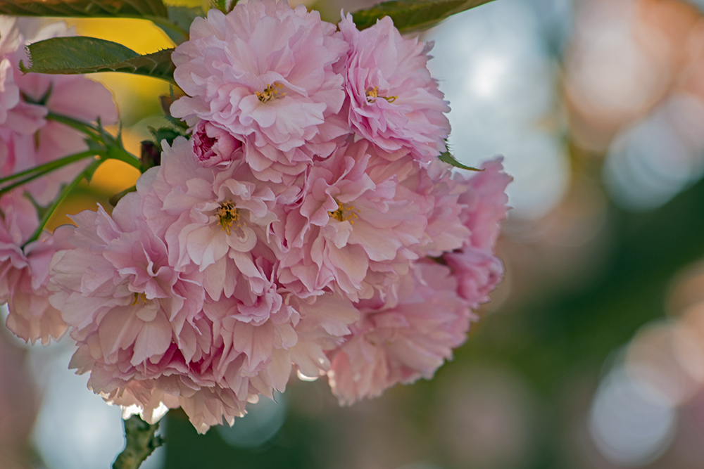 Cherry Blossoms, April 20, 2021