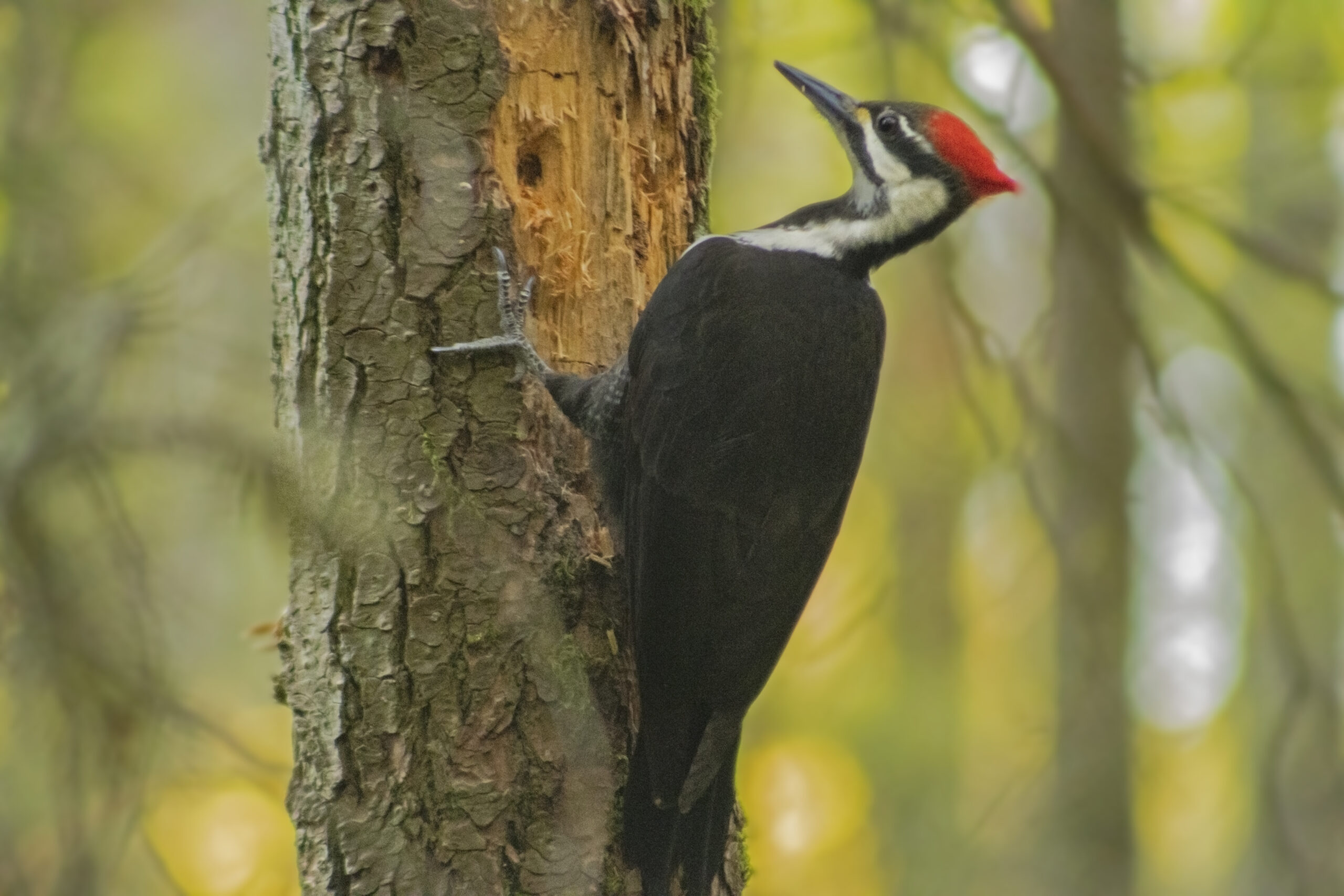Female Pileated Woodpecker in the Watershed, April 19, 2021