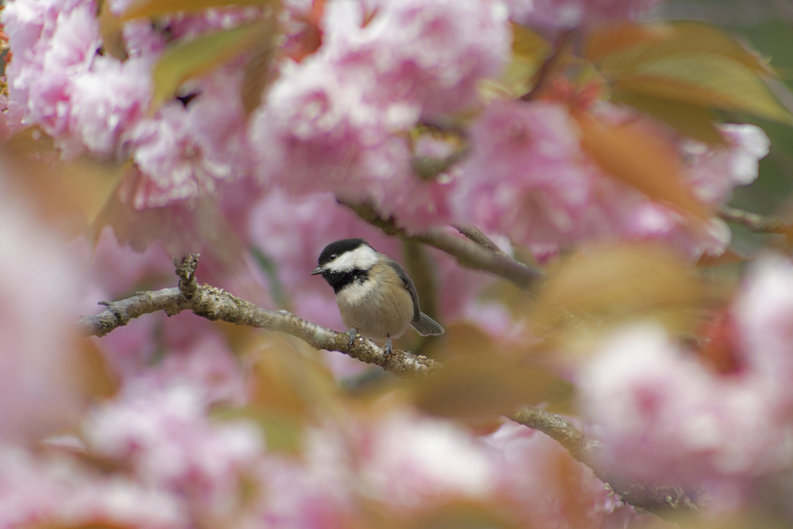 Black Capped Chickadee in Blossoms, April 25, 2021