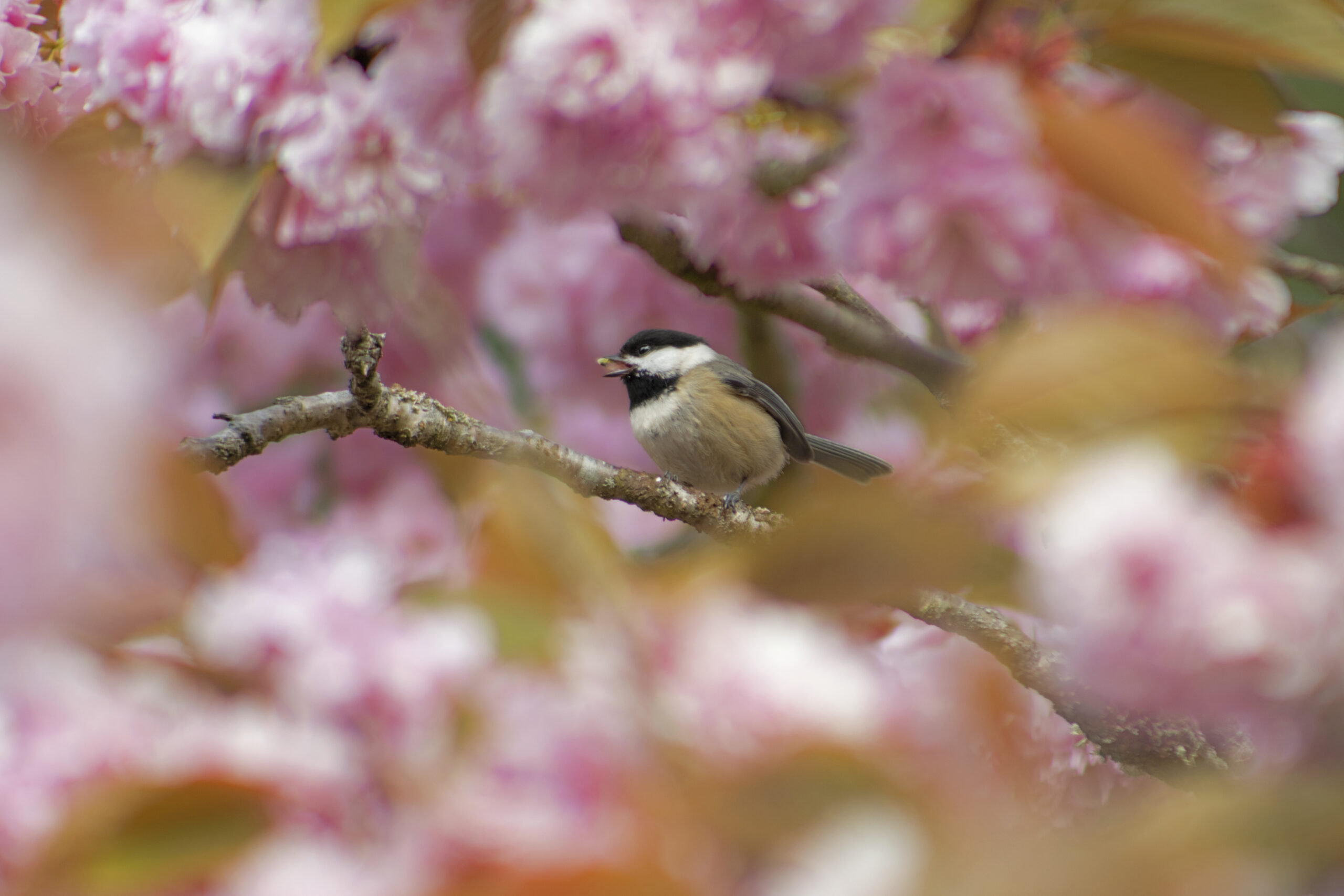 Black Capped Chickadee in Blossoms, Having a Snack, April 25, 2021