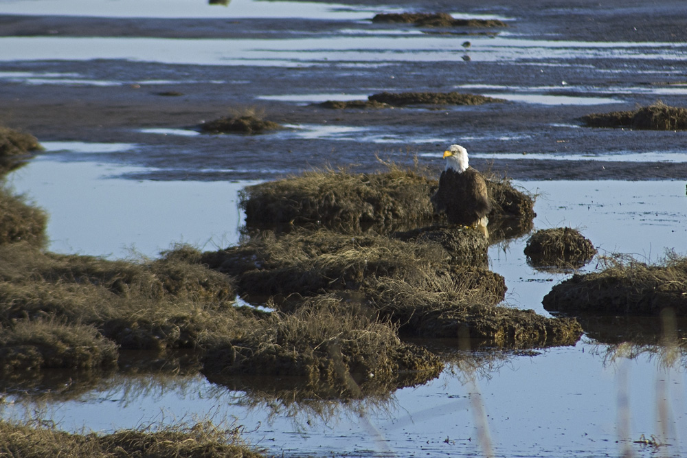 Bald Eagle at Mud Bay, January 23, 2021