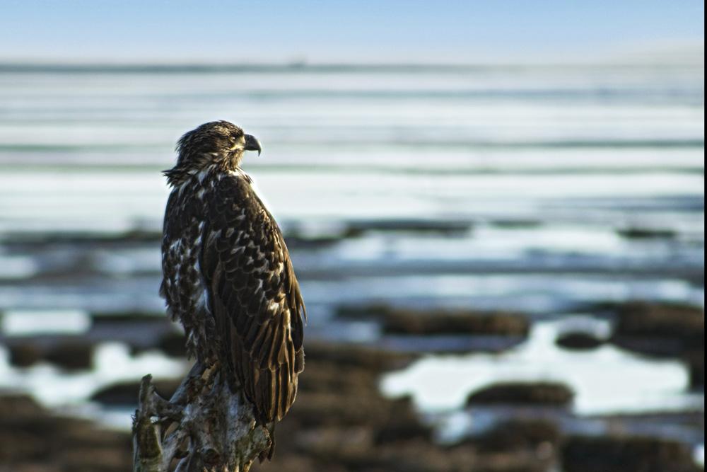 Juvenile Bald Eagle at Mud Bay, January 23, 2021