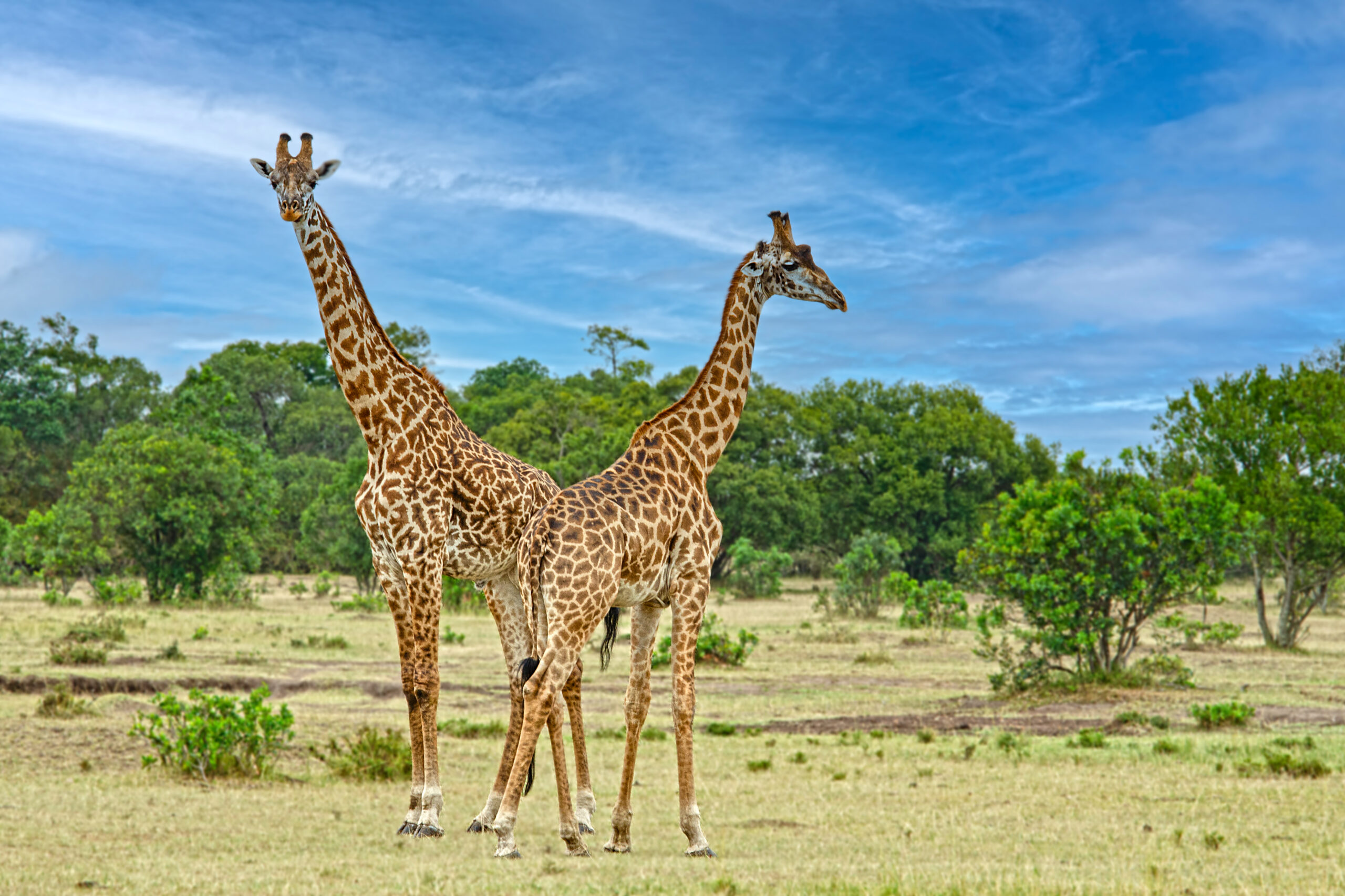 Giraffes in the Mara, August 2019
