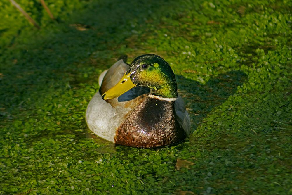 Mallard Duck, March 15, 2021