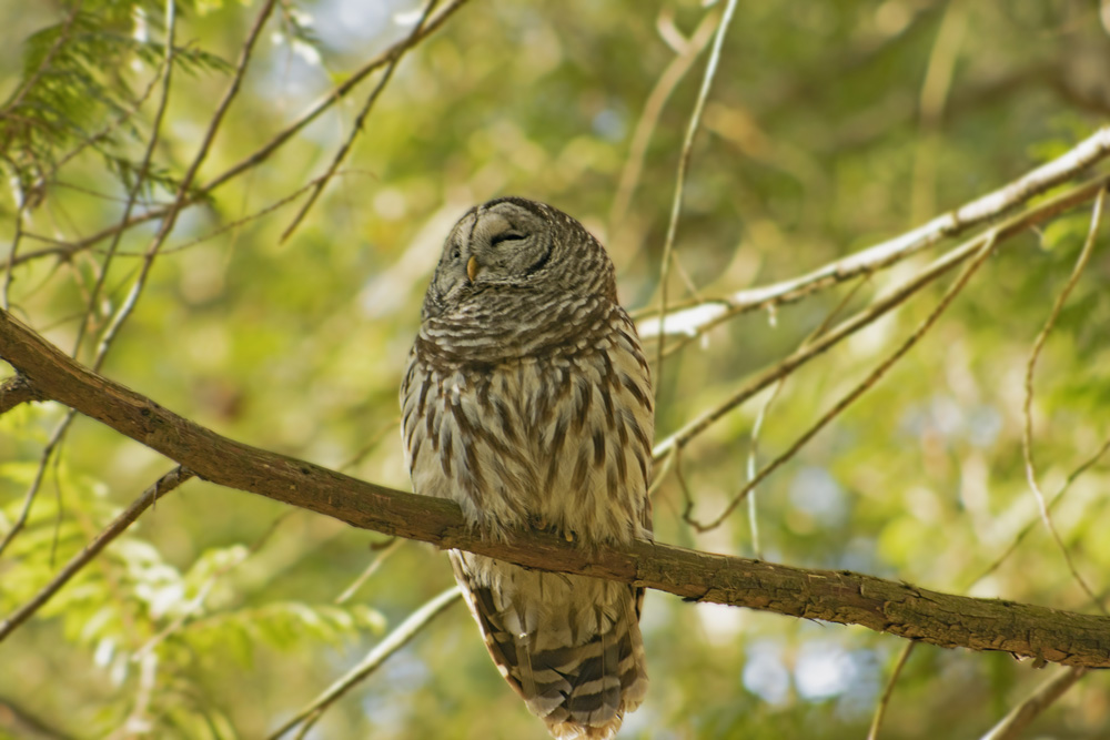 Barred Owl, March 16, 2021