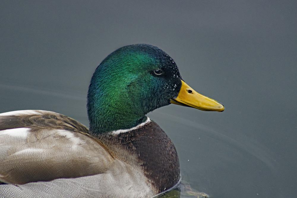 Mallard Duck, March 20, 2021