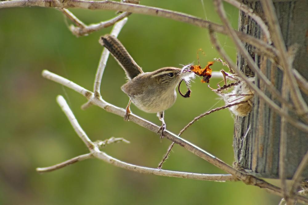 Bewicks Wren Nesting