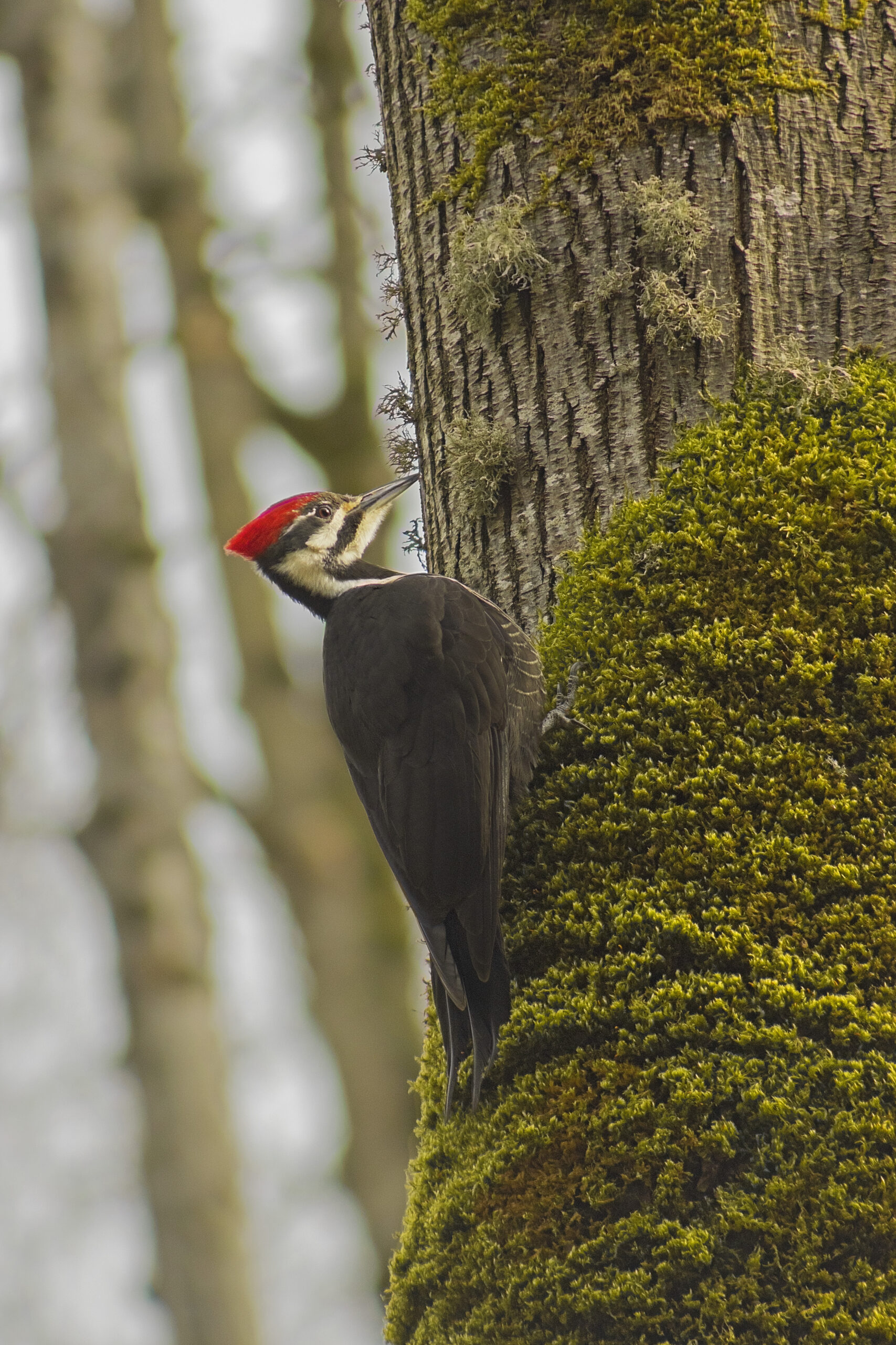 Pileated Woodpecker, March 31, 2021