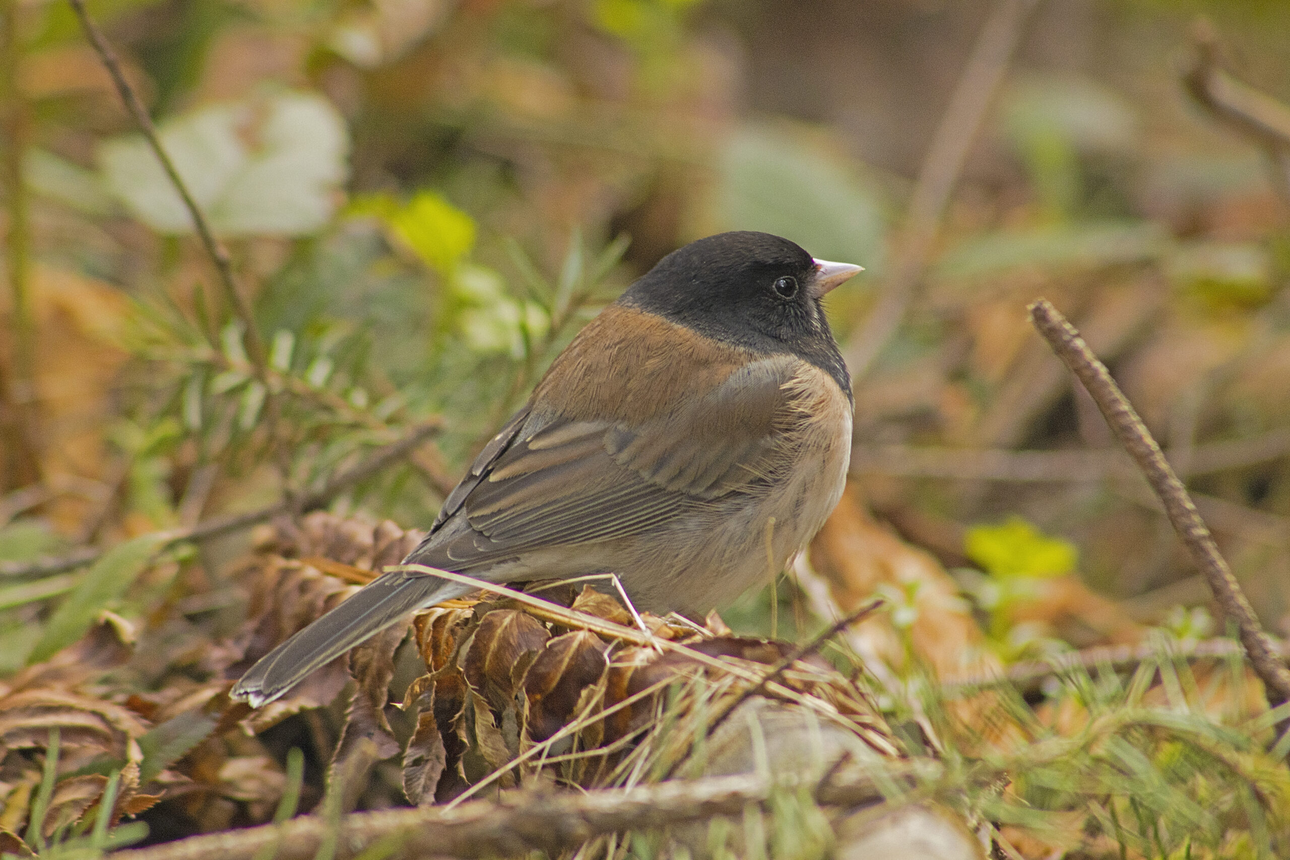 Dark-Eyed Junco in the Watershed, April 2 2021
