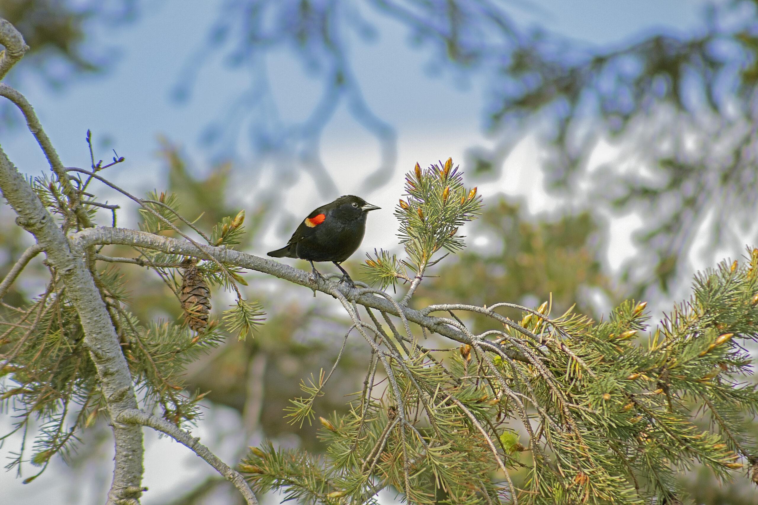 Redwing Blackbird at Boundary Bay, April 30, 2021