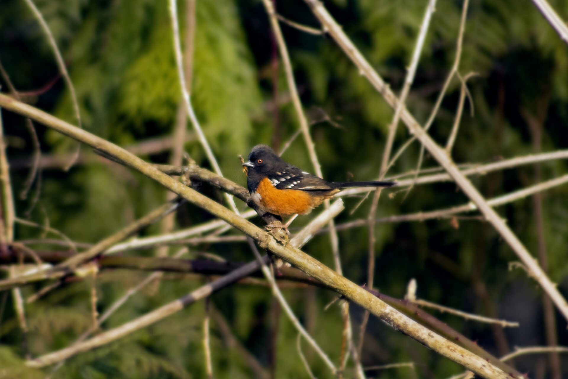 Spotted Towhee in the Watershed, March 17, 2021