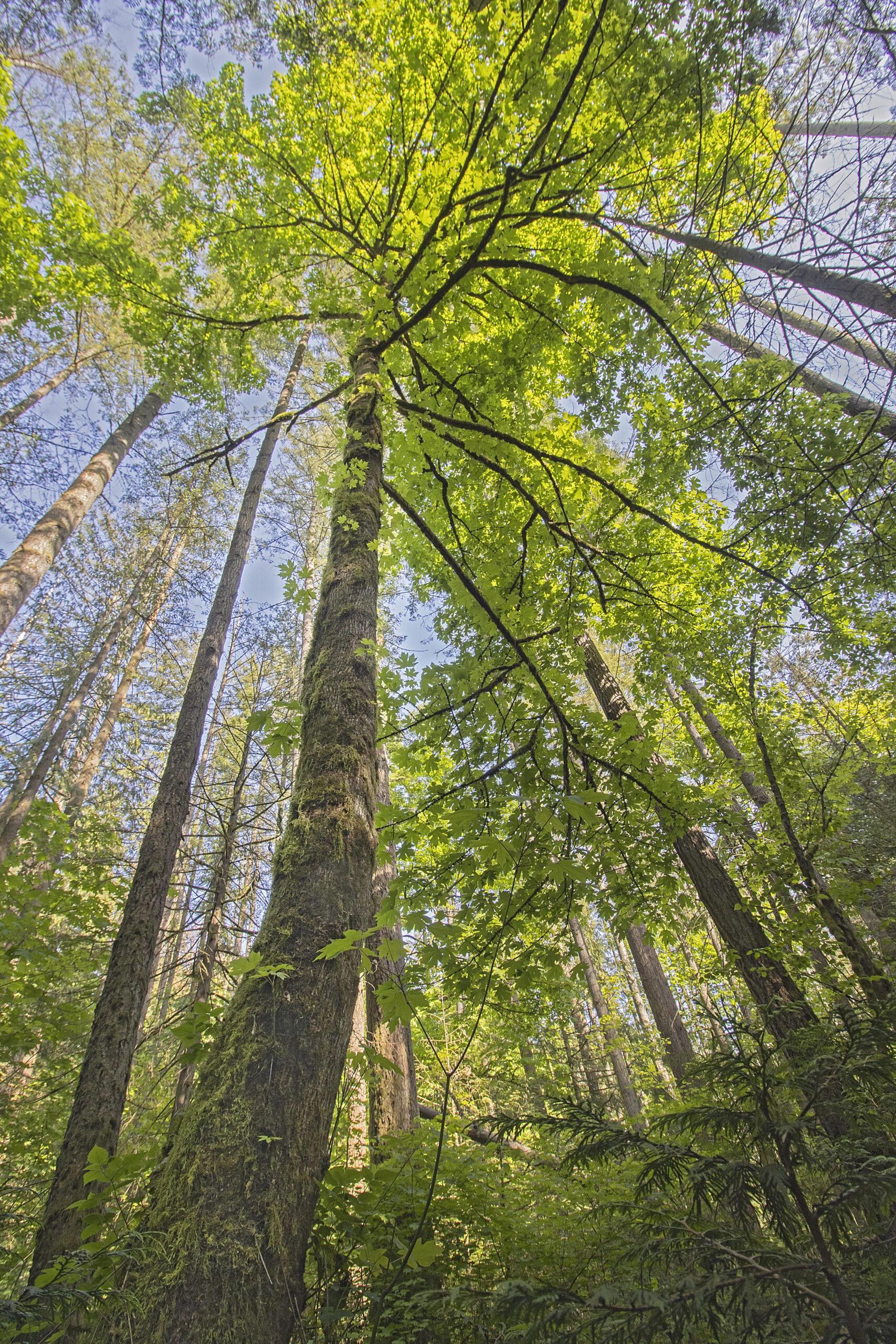 Maple Tree, May 11, 2021