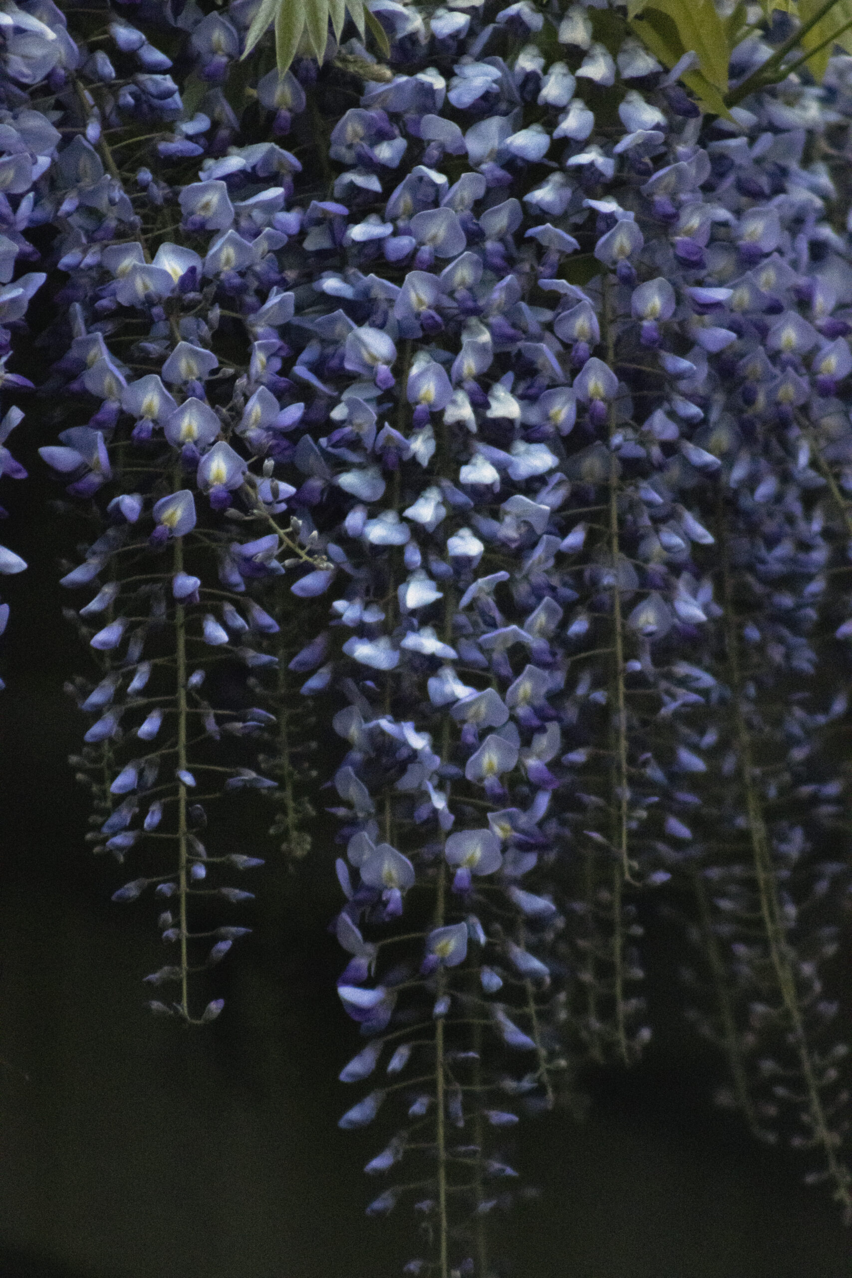 Wisteria Blooms, May 13 2021