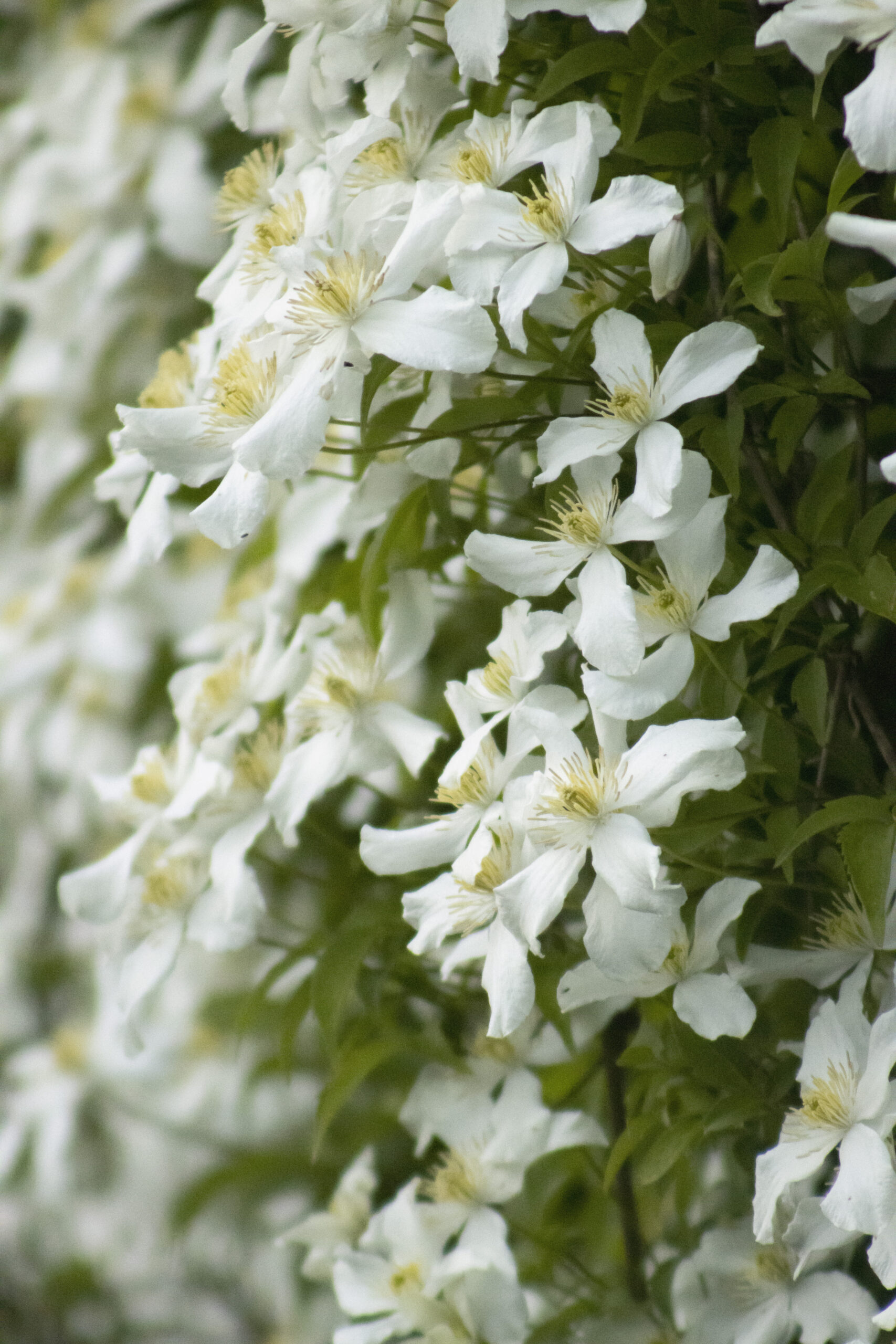 White Flowers, May 13, 2021