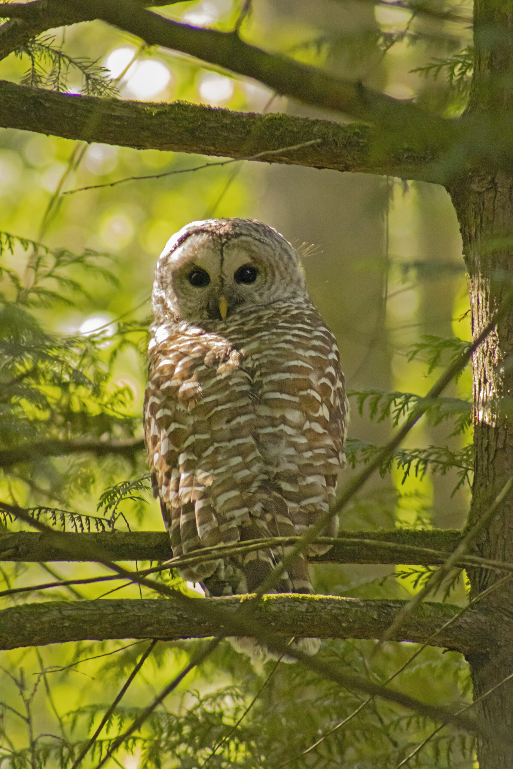 Barred Owl in the Watershed, May 12, 2021