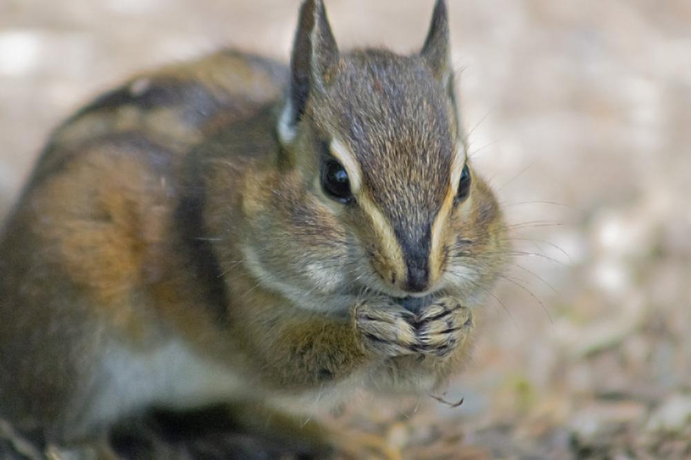 Chipmunks having a snack