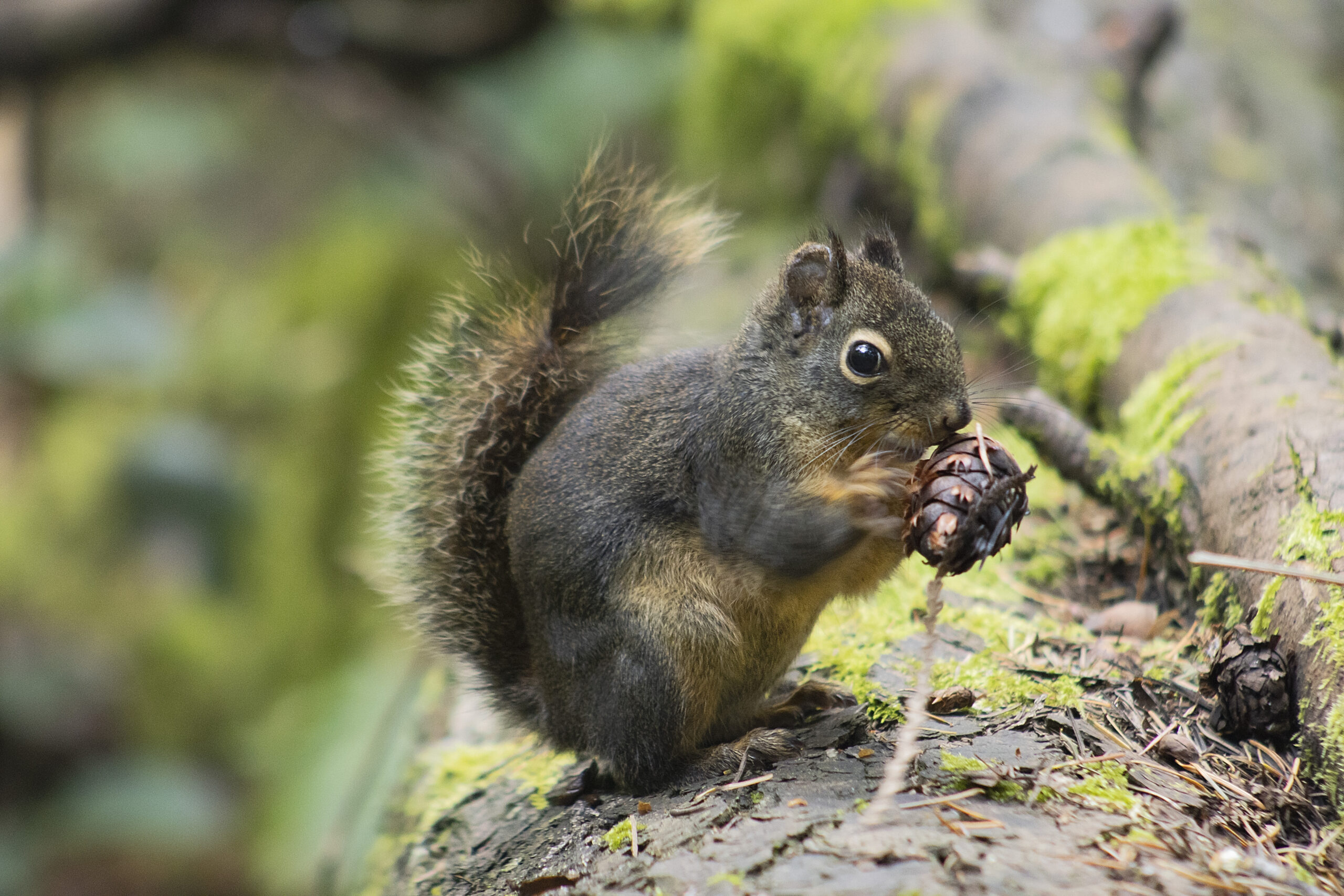 Douglas Squirrel in the Watershed, May 1 2021