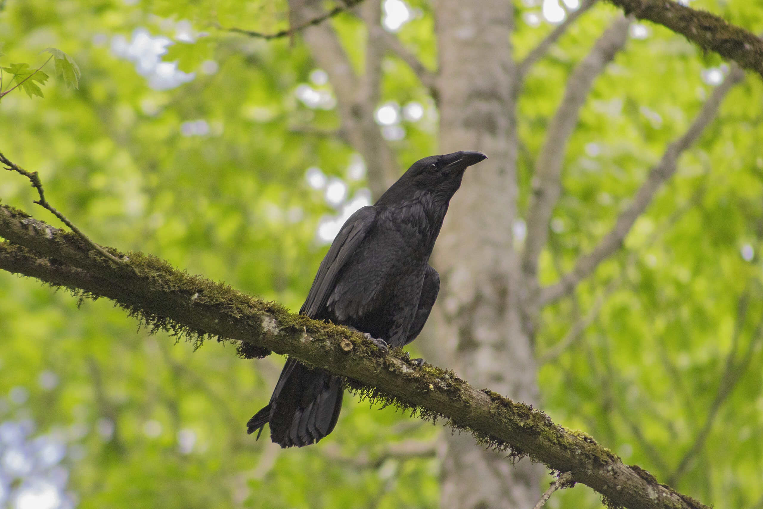 Raven in the Watershed, May 1, 2021