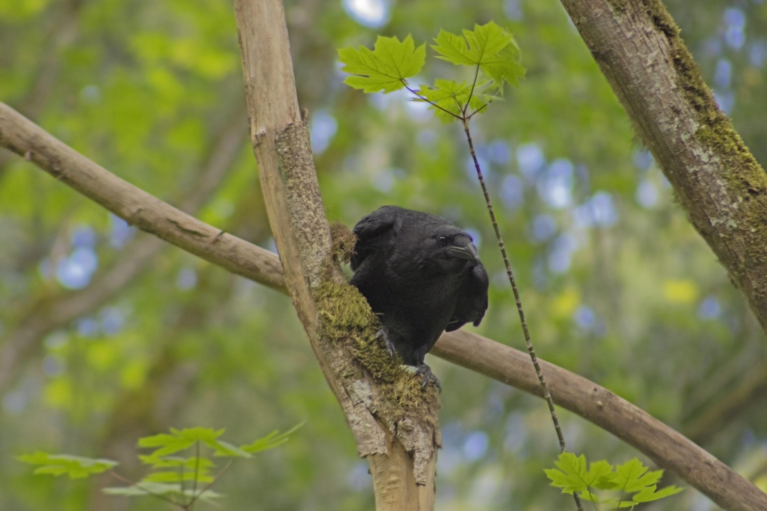 Raven, May 1, 2021