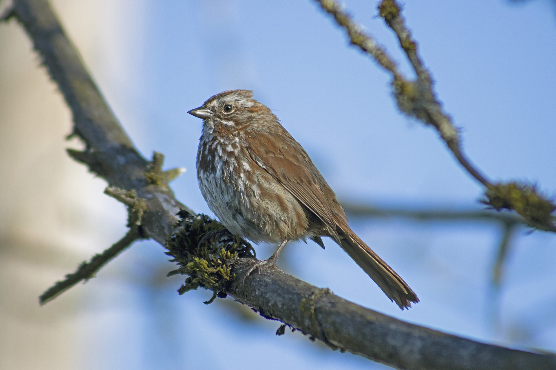 Song Sparrow at Brydon Lagoon, May 7 2021