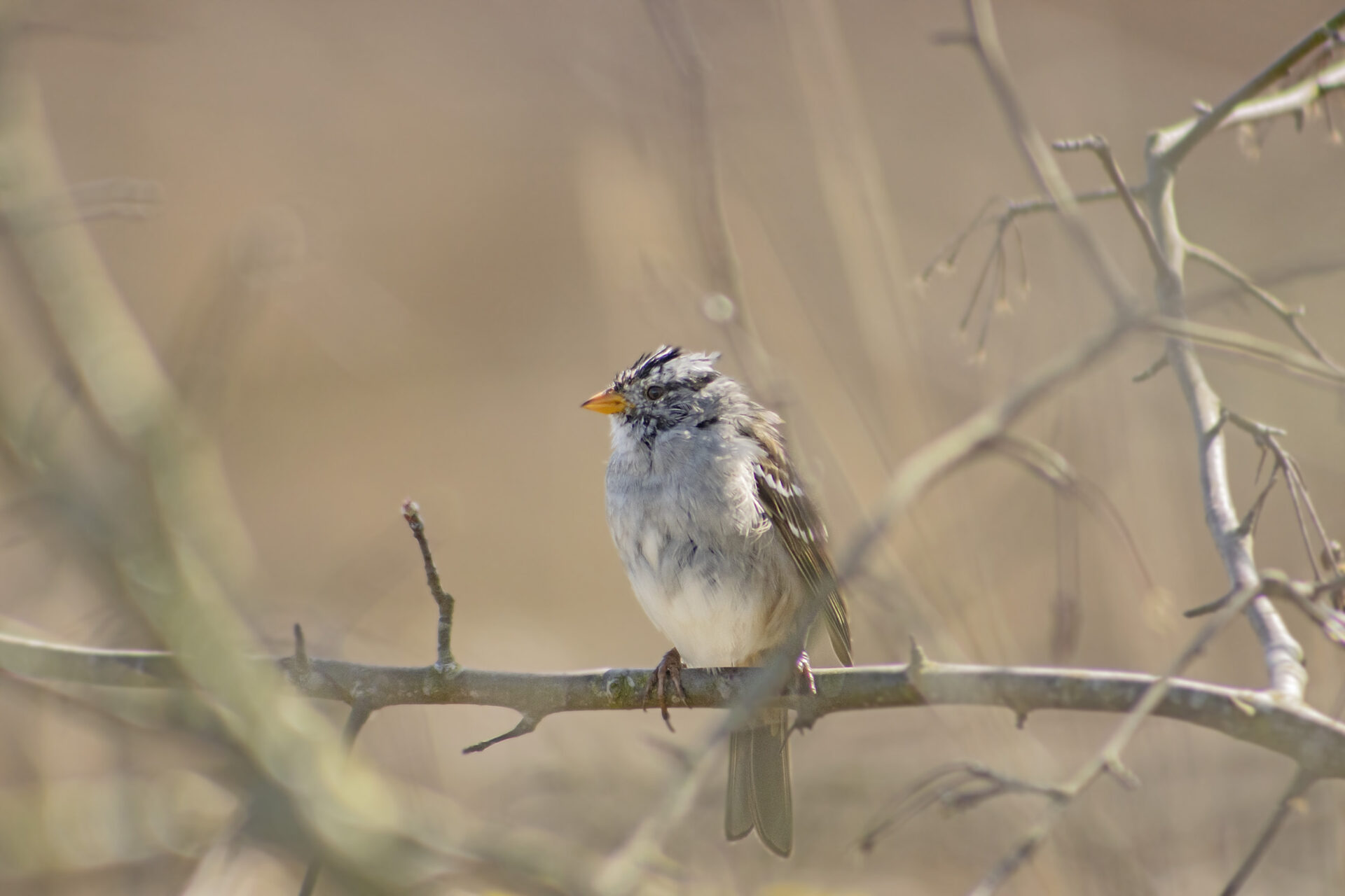White Crowned Sparrow, Boundary Bay, April 5, 2021