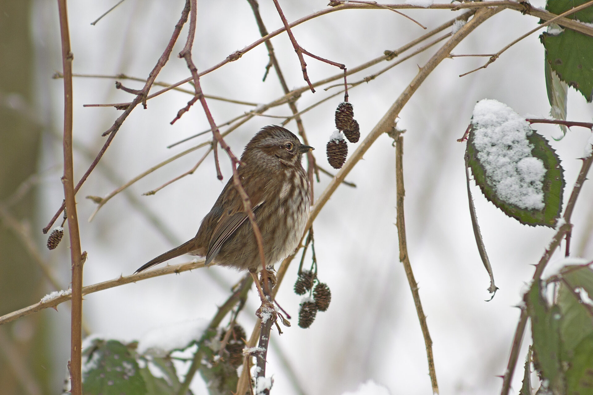 Song Sparrow in the Watershed, February 13, 2019