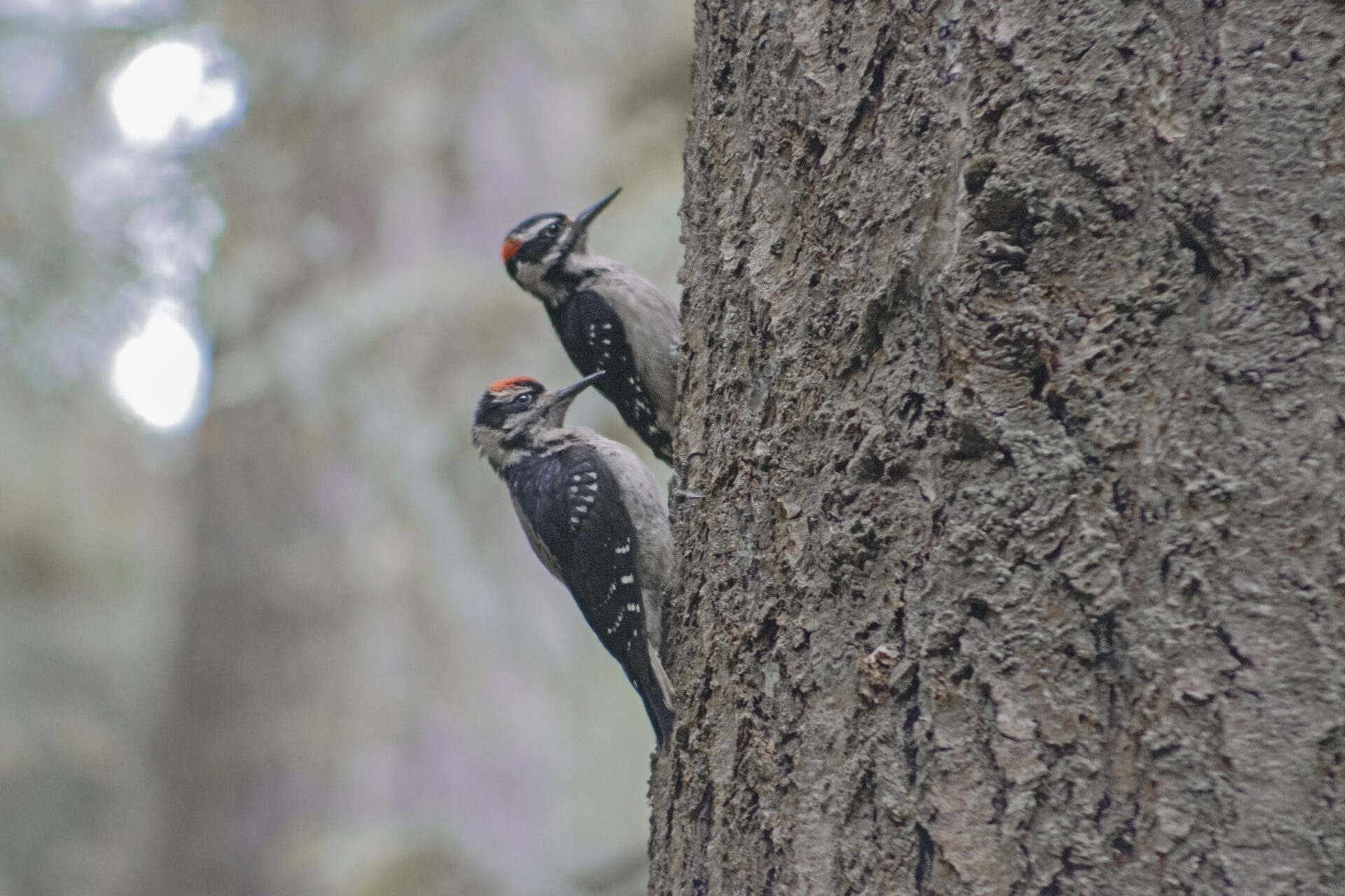 Two Hairy Woodpeckers on Side of Tree, Watershed, July 1, 2021