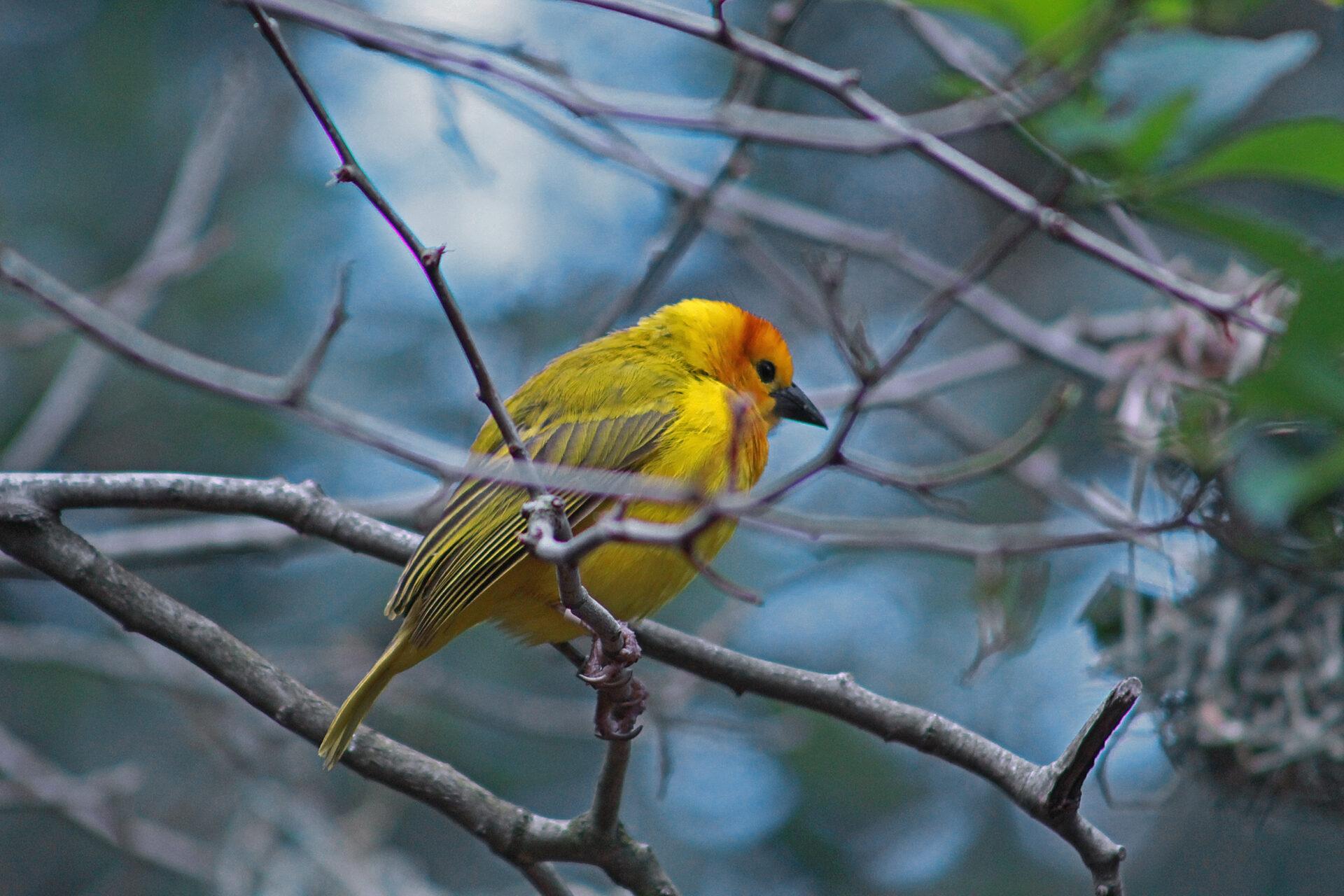 Taveta Golden-Weaver, Woodland Park Zoo, July 16, 2017