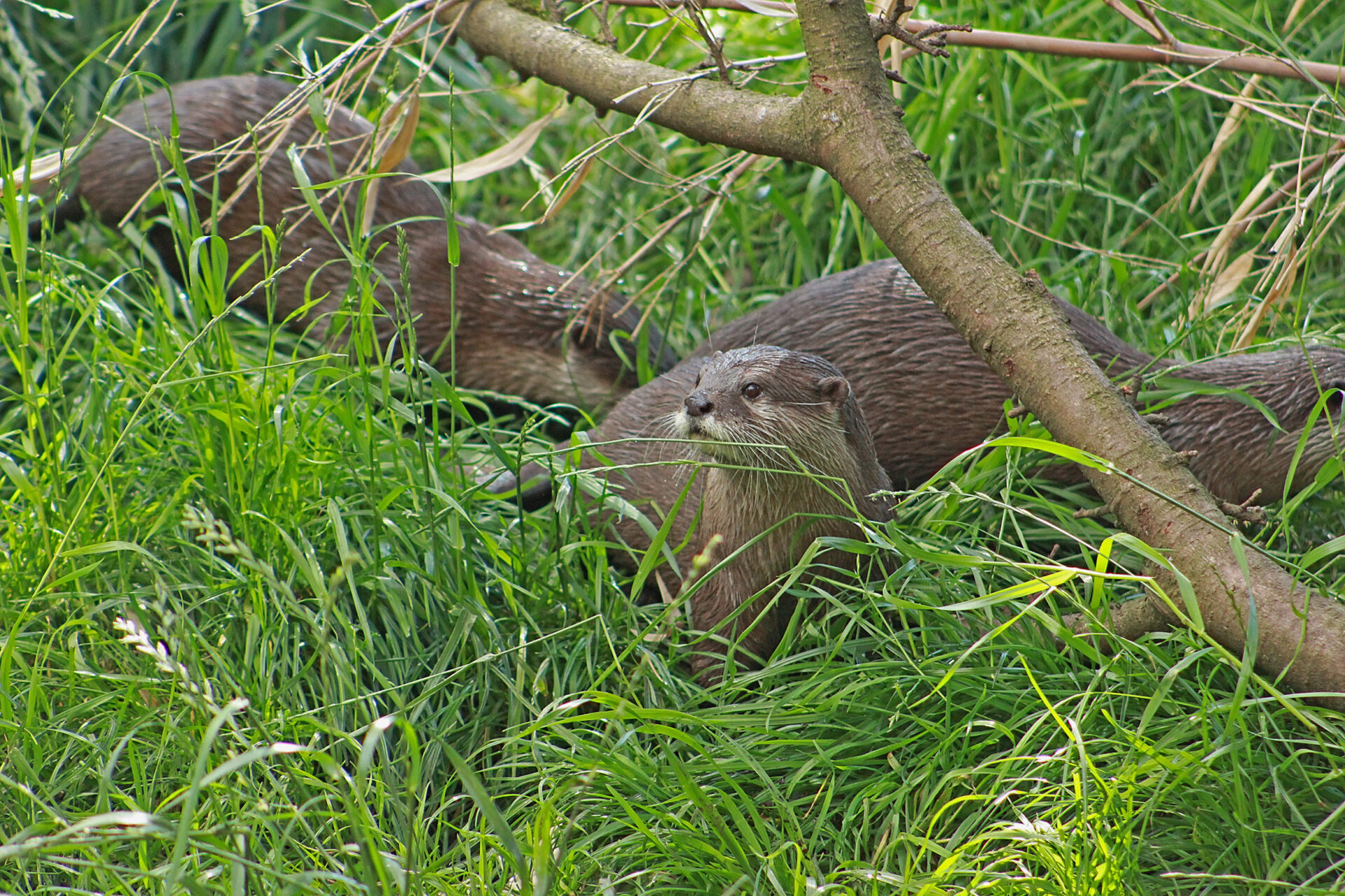Asian Small-Clawed Otter, Woodland Park Zoo, July 16, 2017