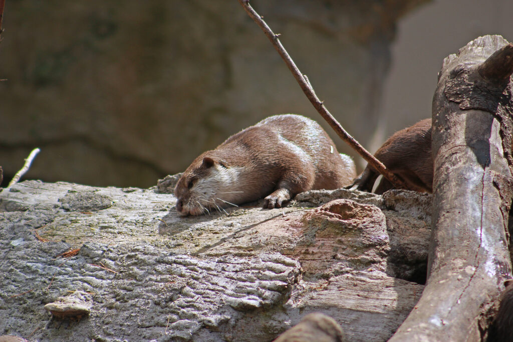 Asian Small-Clawed Otters, Woodland Park Zoo, July 16, 2017