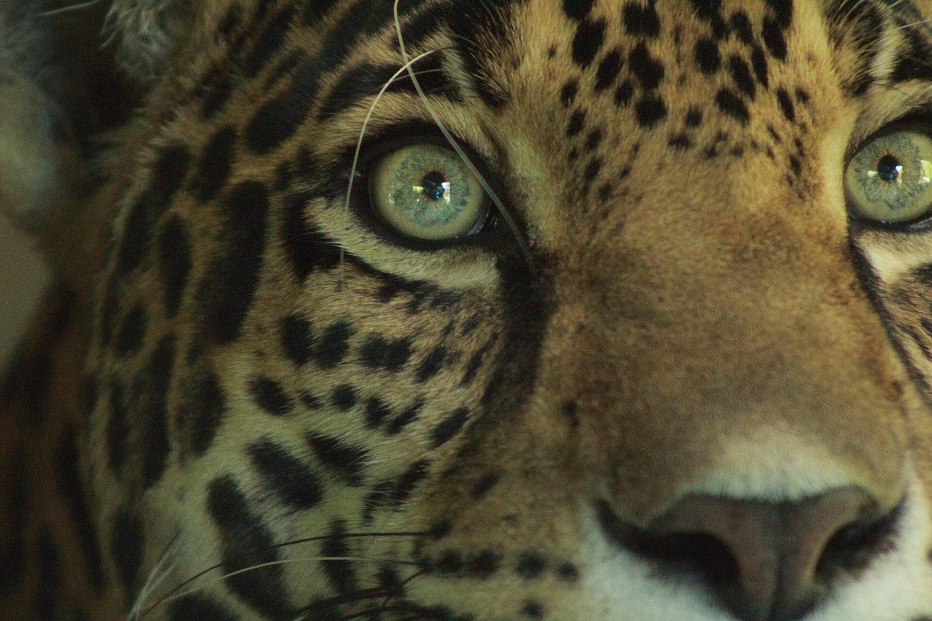Jaguar, Woodland Park Zoo, July 16, 2017