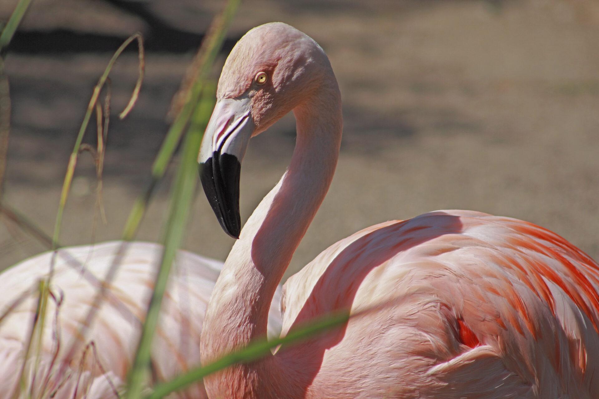 Chilean Flamingo, Woodland Park Zoo, July 16, 2021