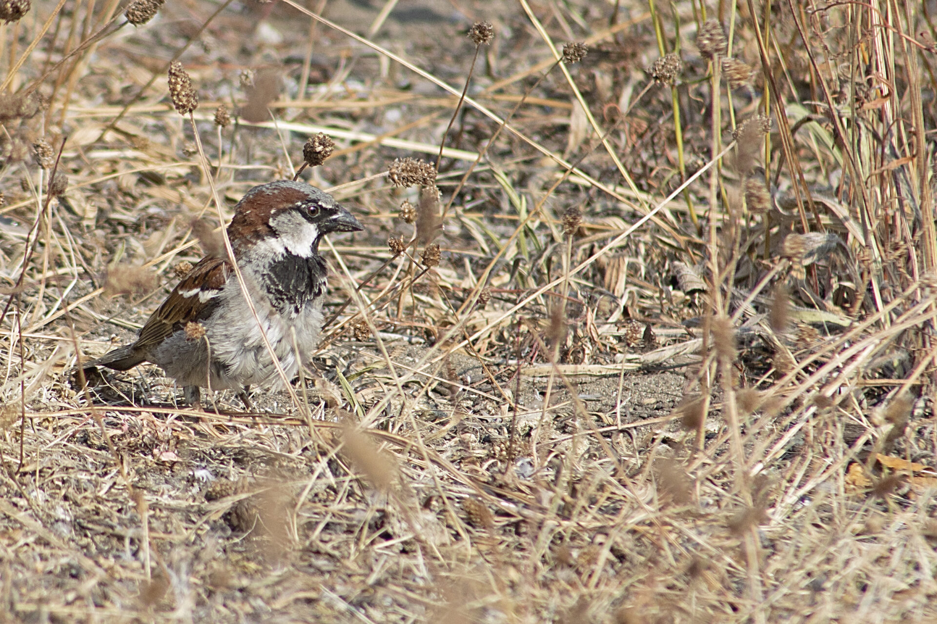 House Sparrow, Reifel Bird Sanctuary, July 2, 2021