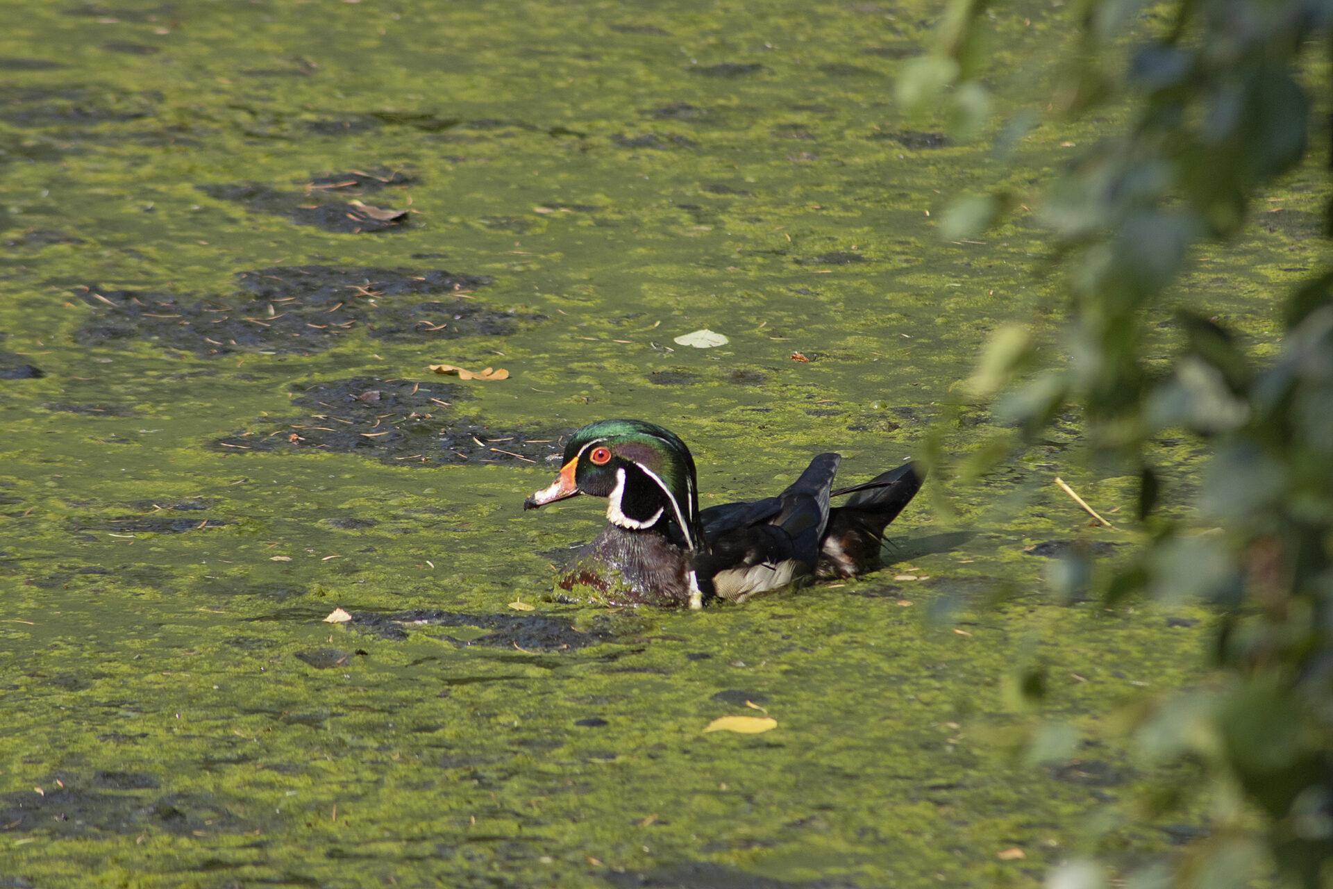 Male Wood Duck, July 2, 2021