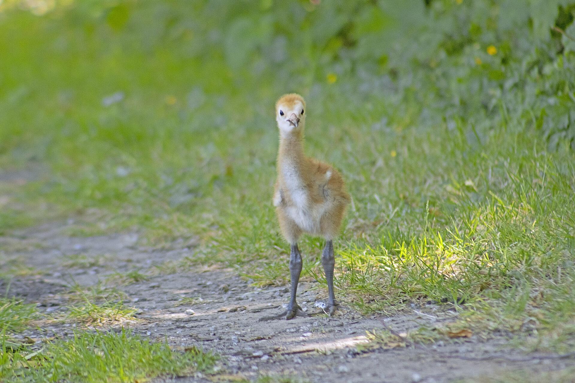 Sandhill Crane Colt at the Reifel Bird Sanctuary, July 2, 2021