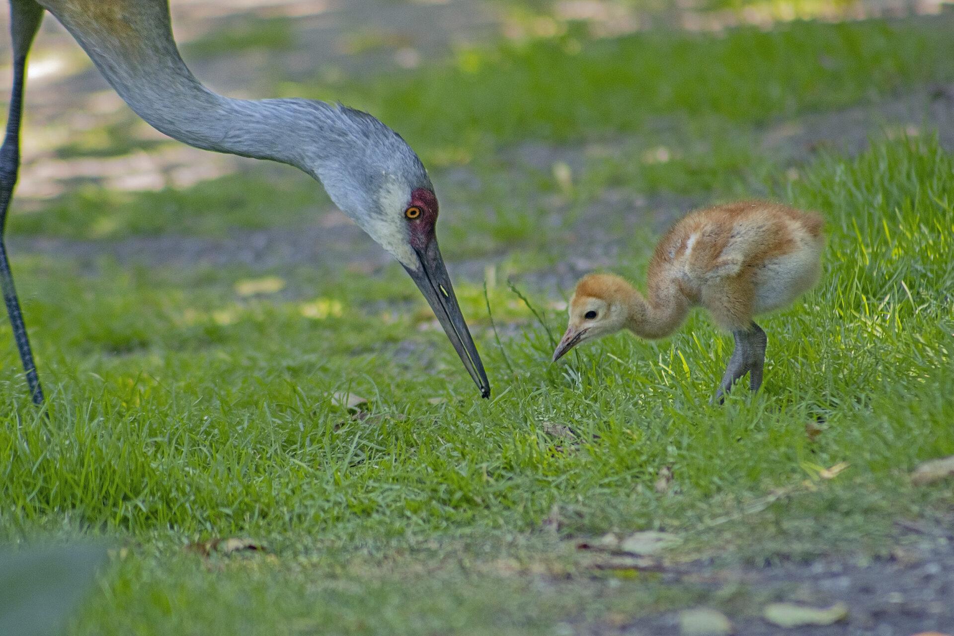 Sandhill Crane and Colt, Reifel Bird Sanctuary, July 2, 2021