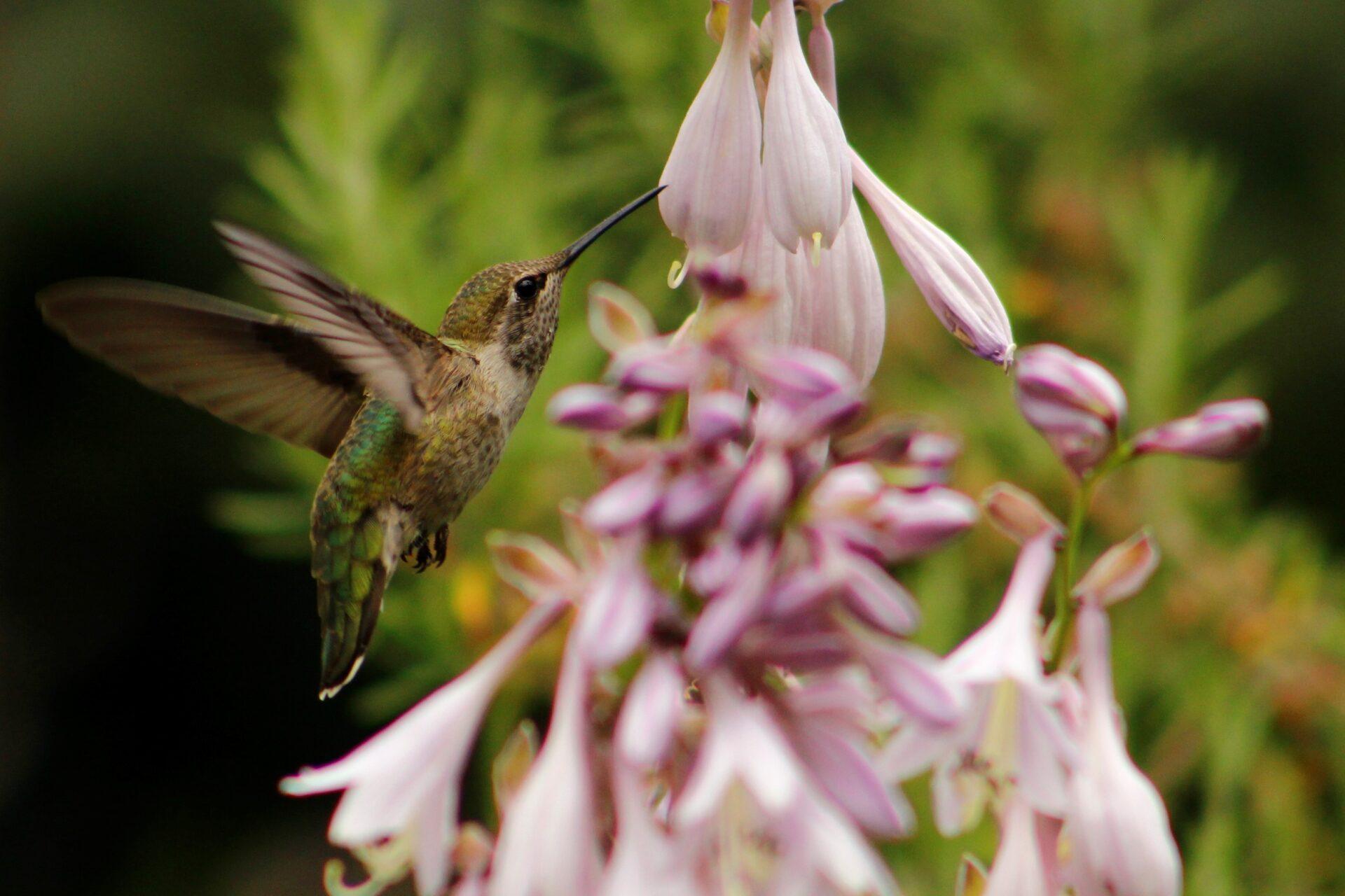 Anna's Hummingbird in Flight, July 21, 2018
