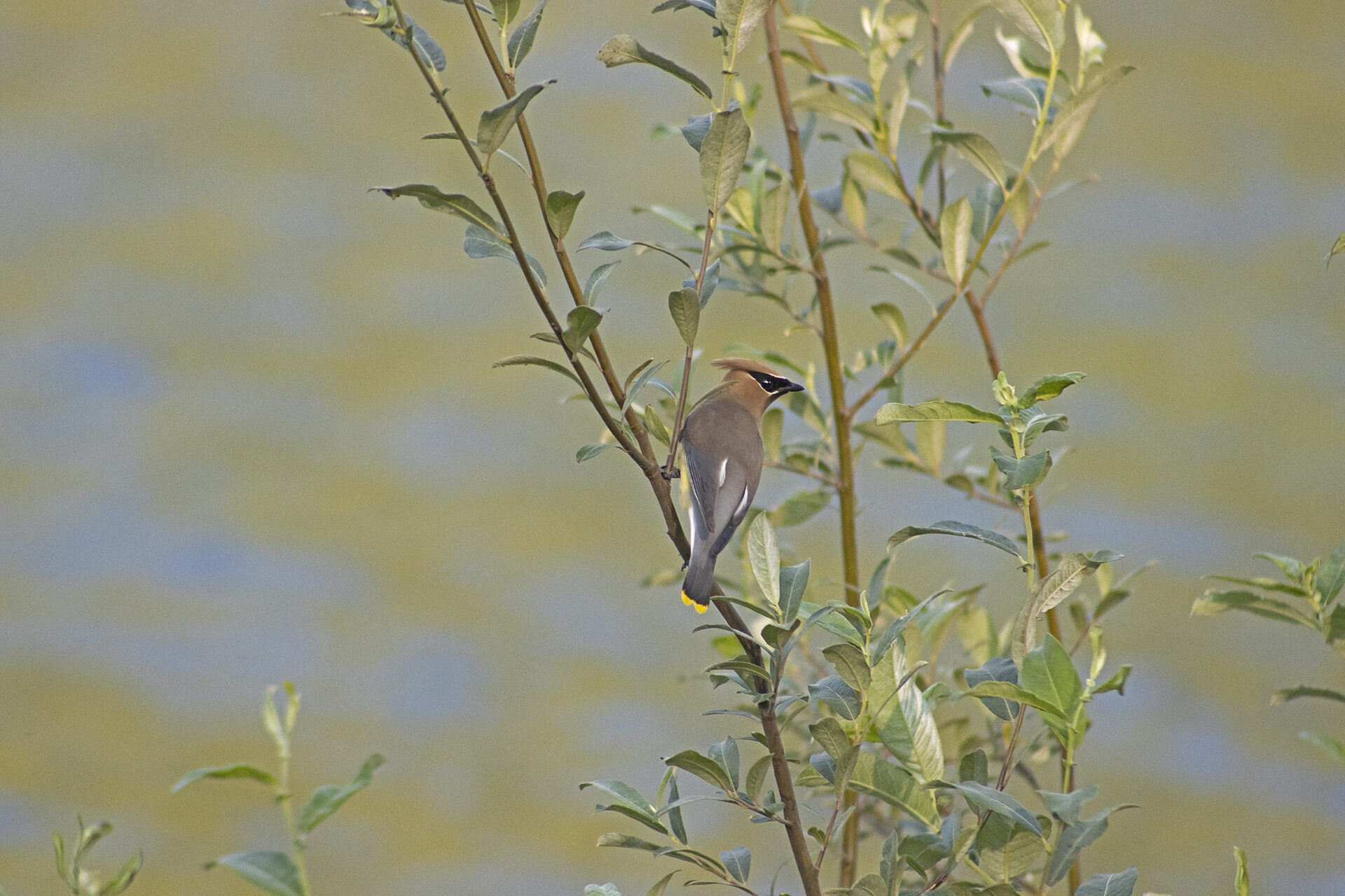 Cedar Waxwing in Tree at Chehalis Lake, July 9, 2021