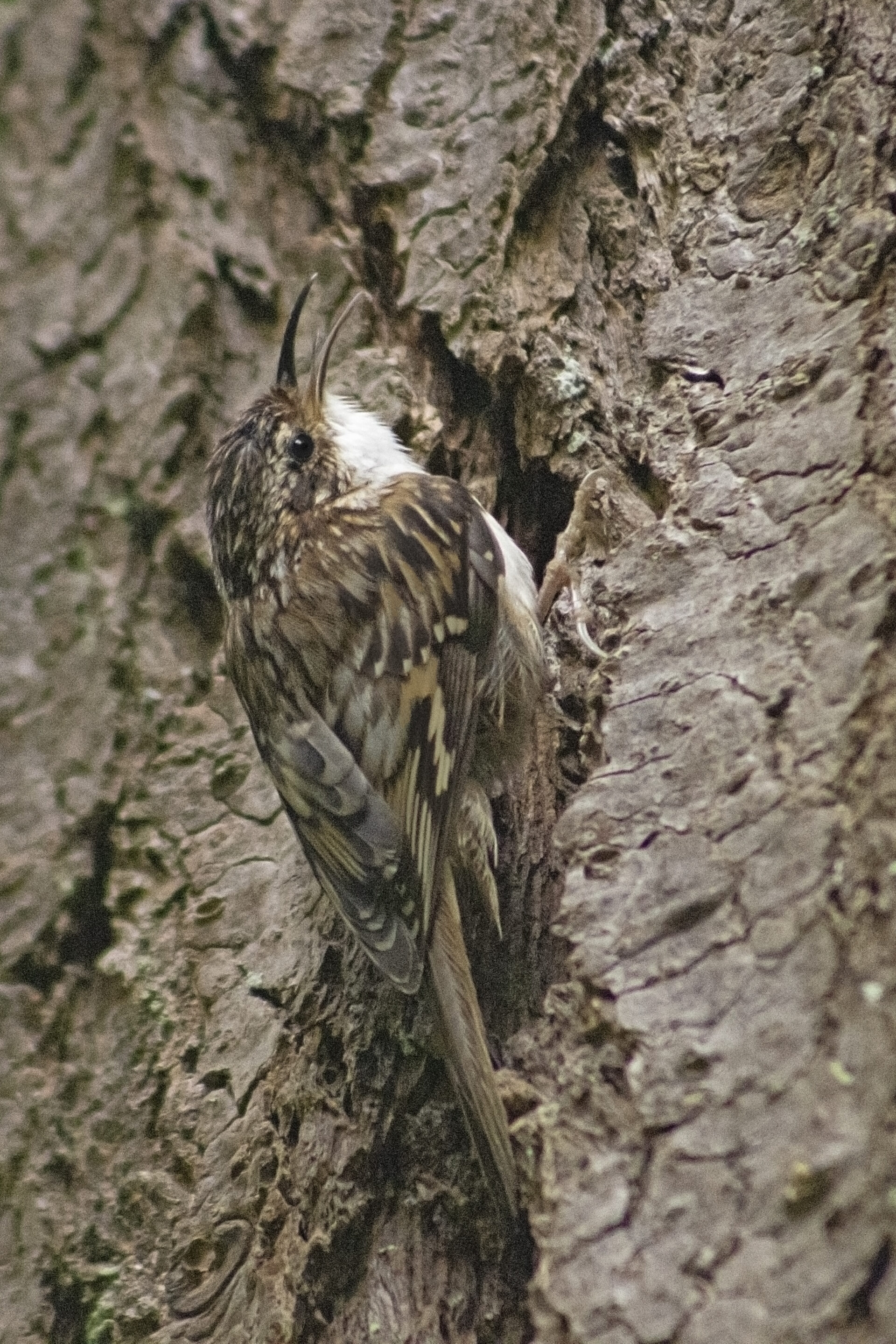Brown Creeper in the Watershed, June 13 2021