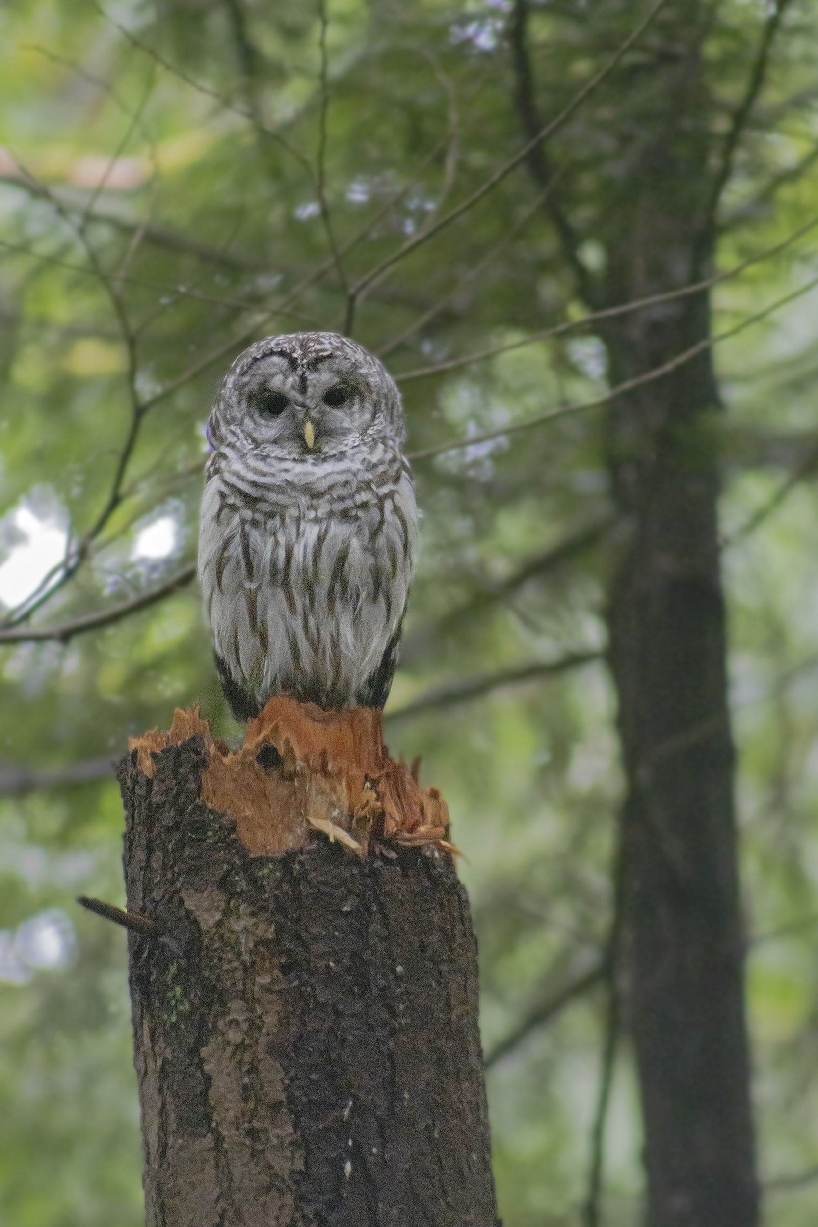 Barred Owl in the Watershed, June 13 2021