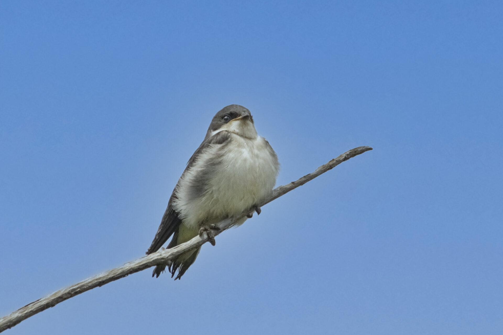 Juvenile Tree Swallow at Iona Beach, June 19 2021
