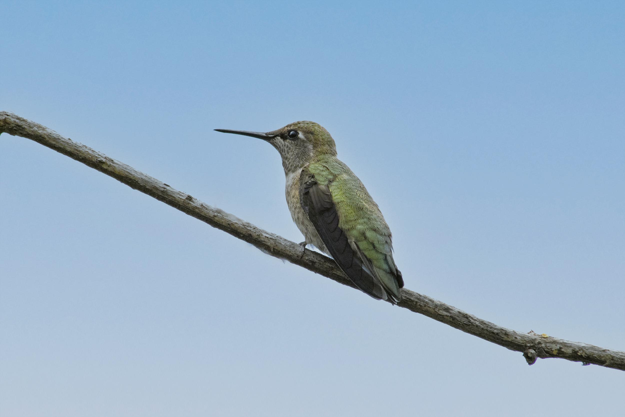 Anna's Hummingbird, June 19 2021