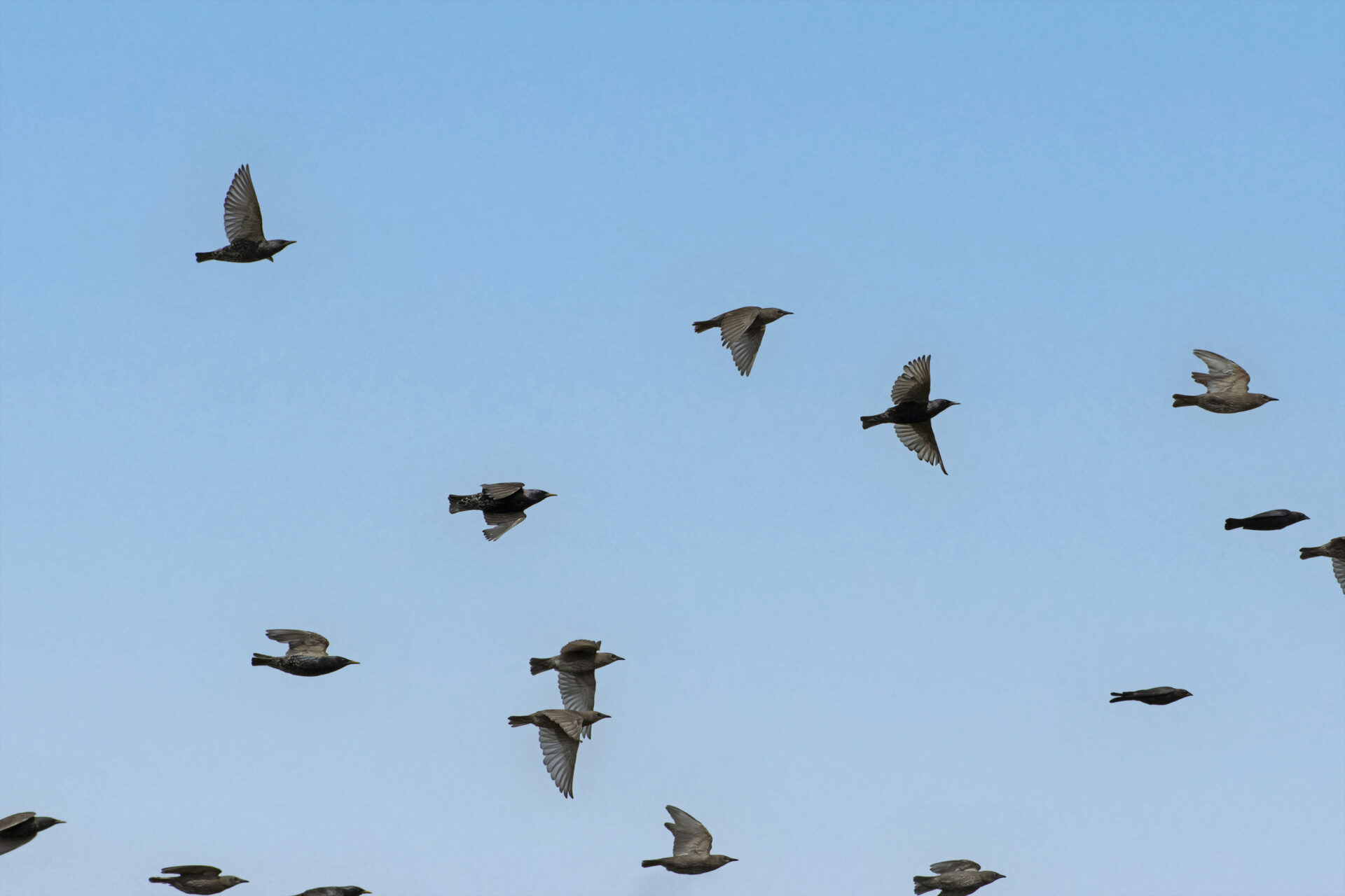 European Starling Flock + Two Imposters, June 19 2021