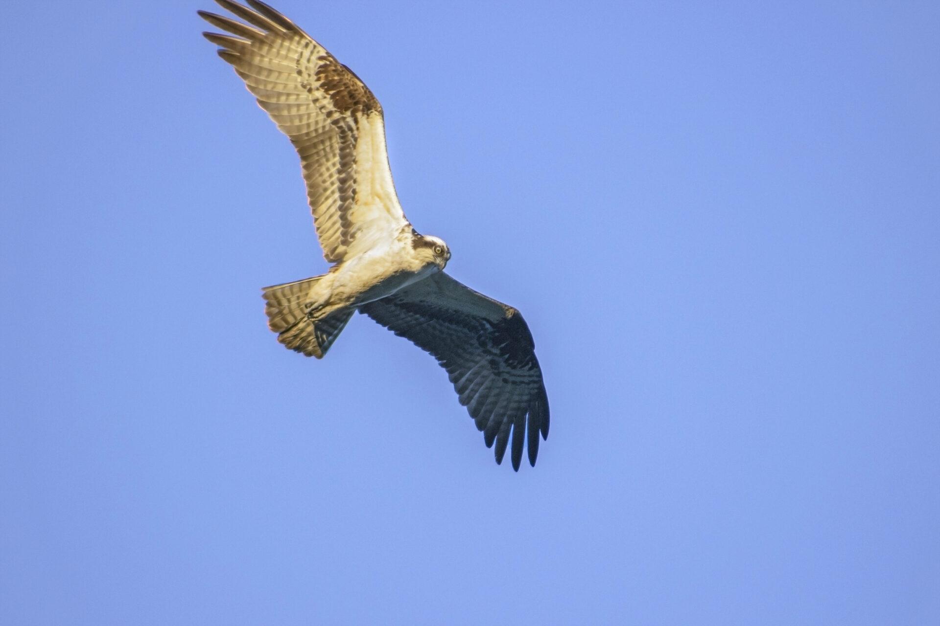 Osprey in flight, June 23, 2021