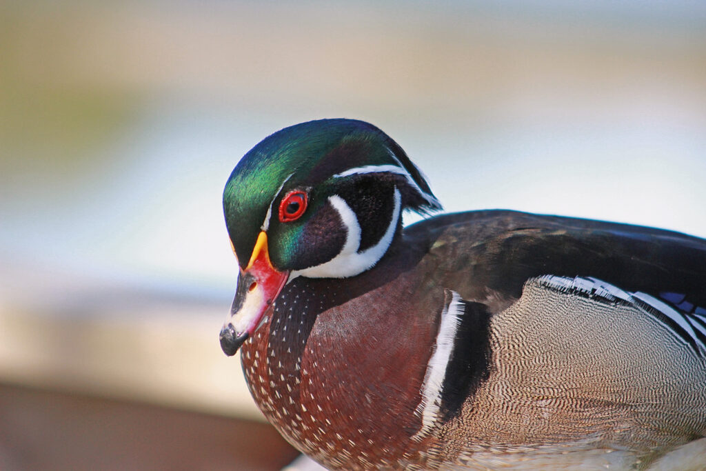 Male Wood Duck at the Reifel Bird Sanctuary, May 5, 2017